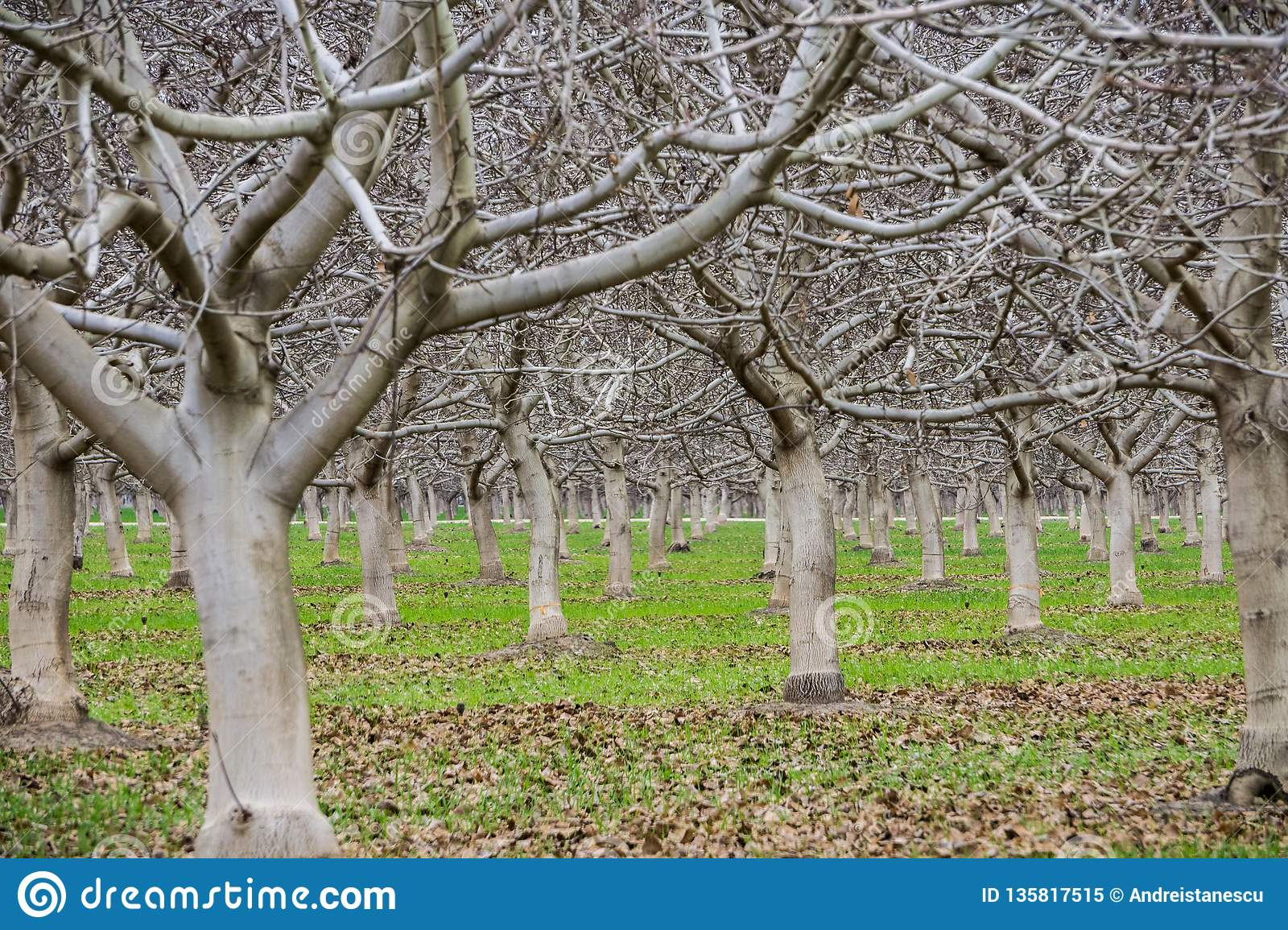 Leafless fruit trees on a winter day, Sacramento valley, California