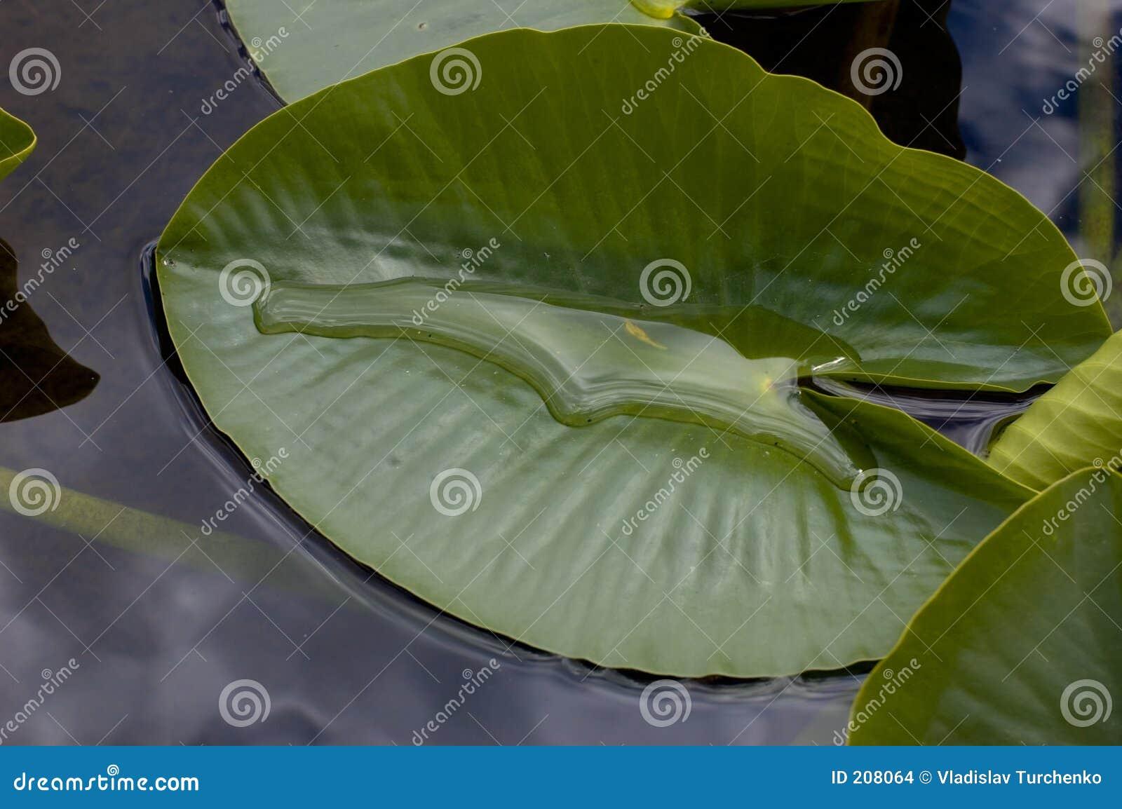 Leafliljavatten
