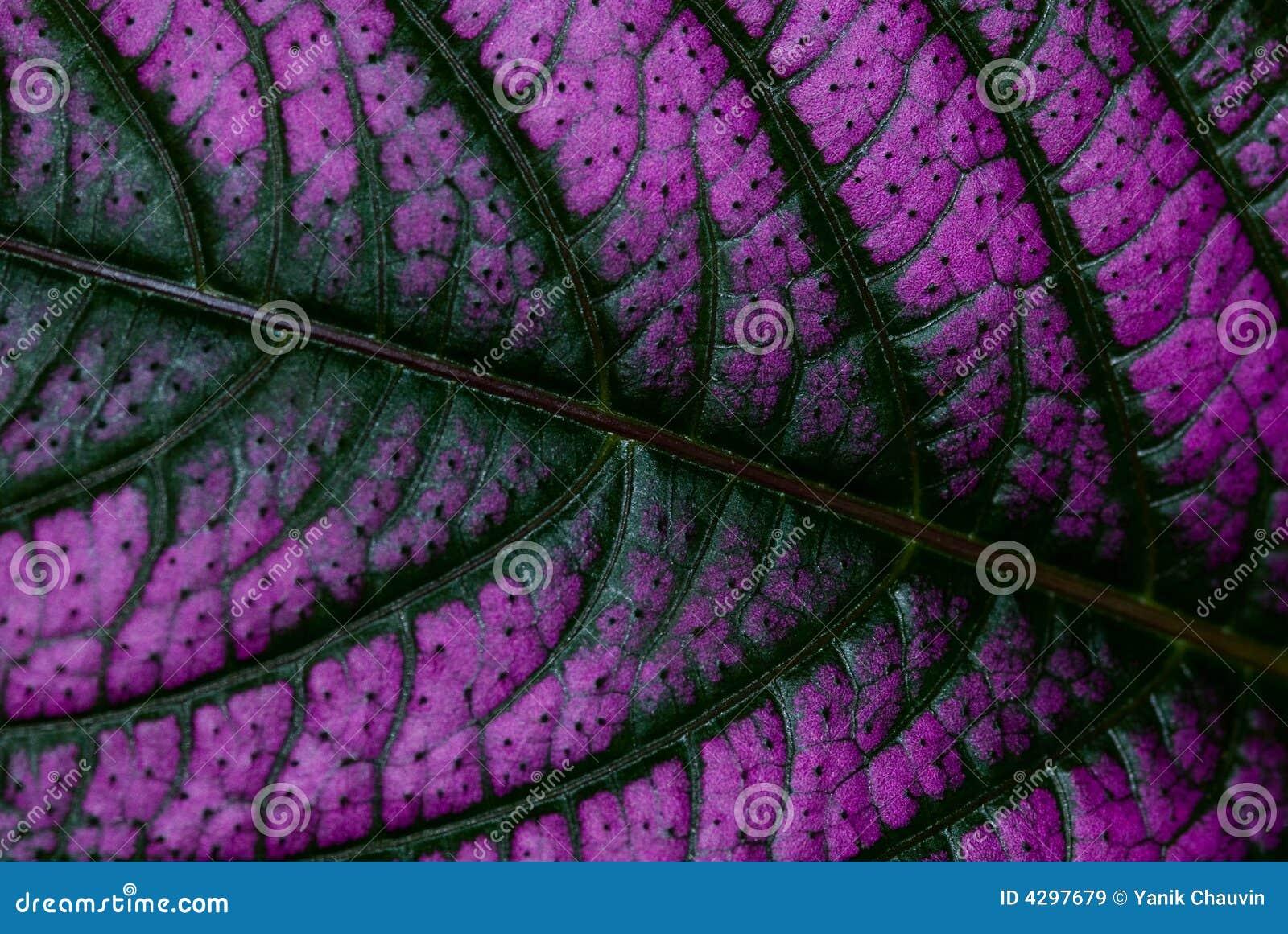 Leafpurple