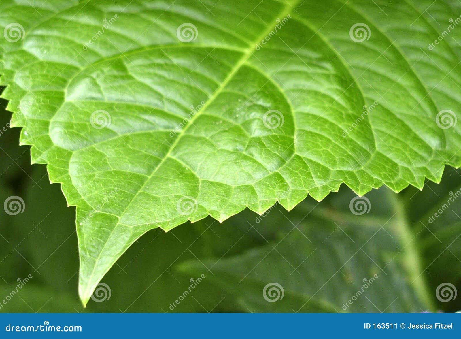 Leafy edge