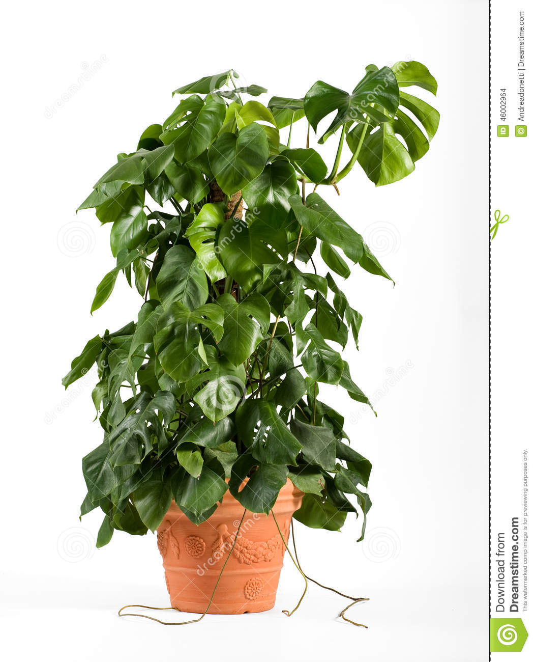 Leafy green delicious monster plant stock photo image 46002964 - Green leafy indoor plants ...