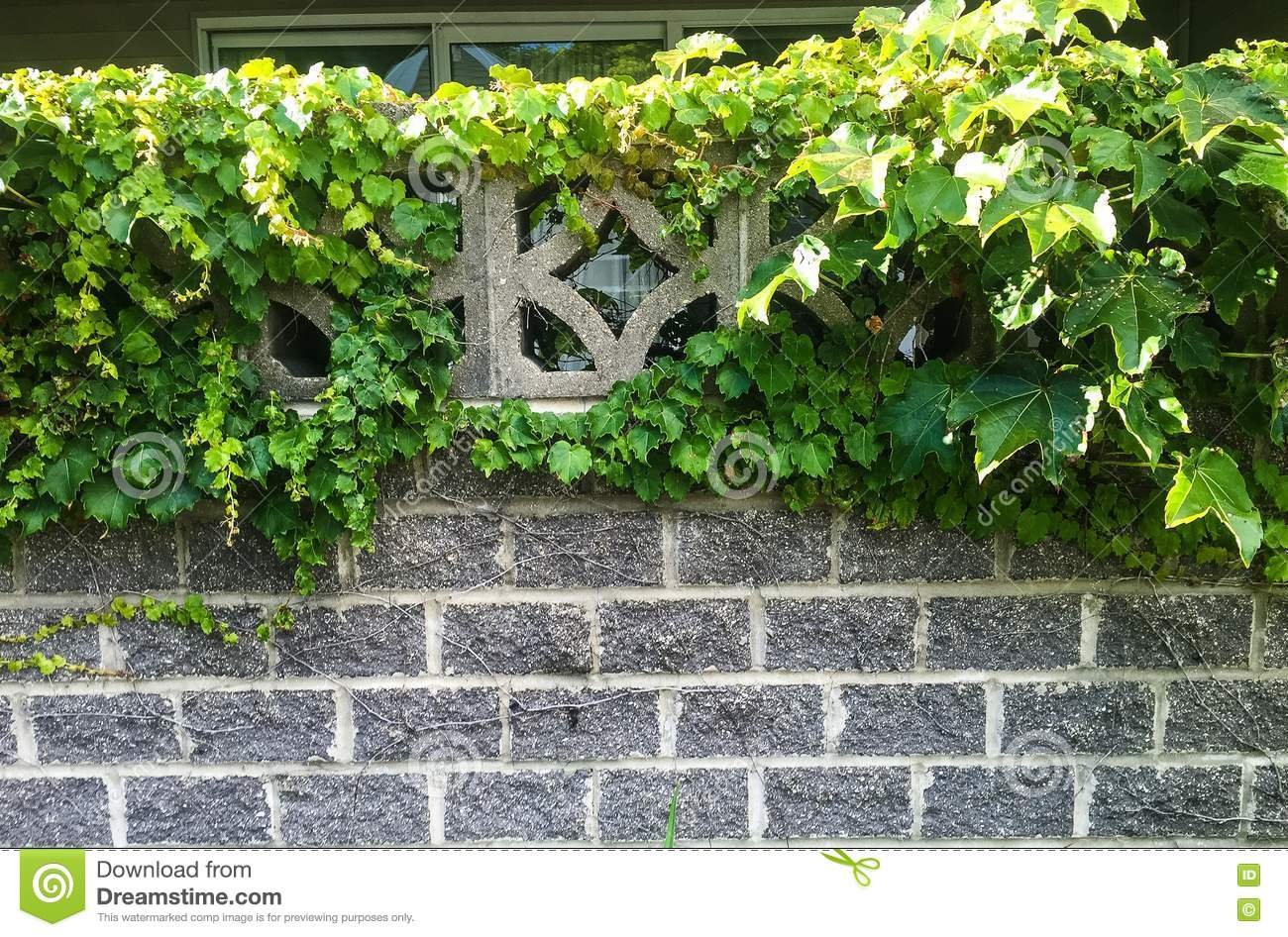 Leafy Green Vines Clinging To Old Brick Garden Wall Stock Photo ...