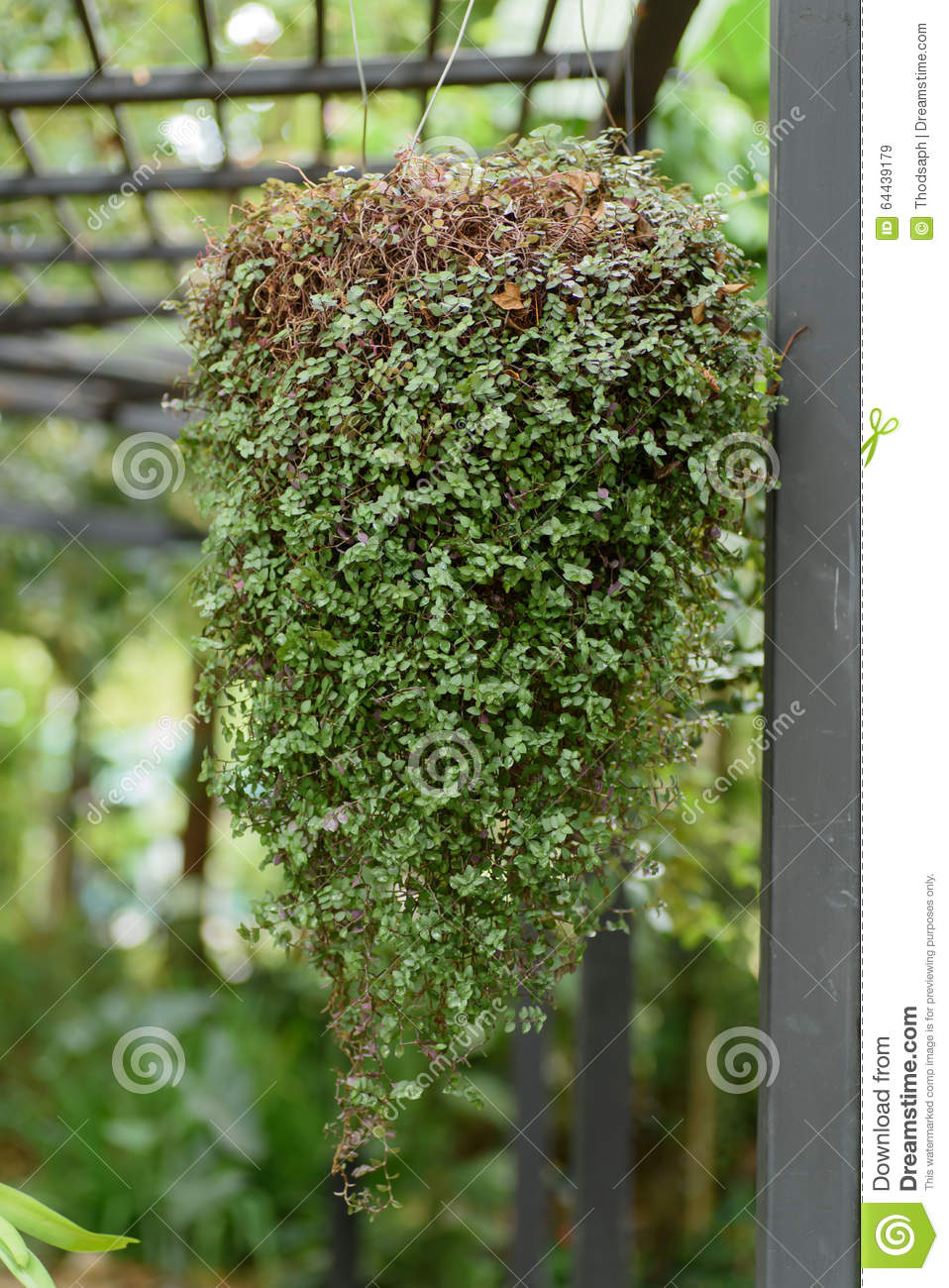 Download Leafy Plant Hanging In The Garden Stock Image   Image Of Decorative,  Floral: