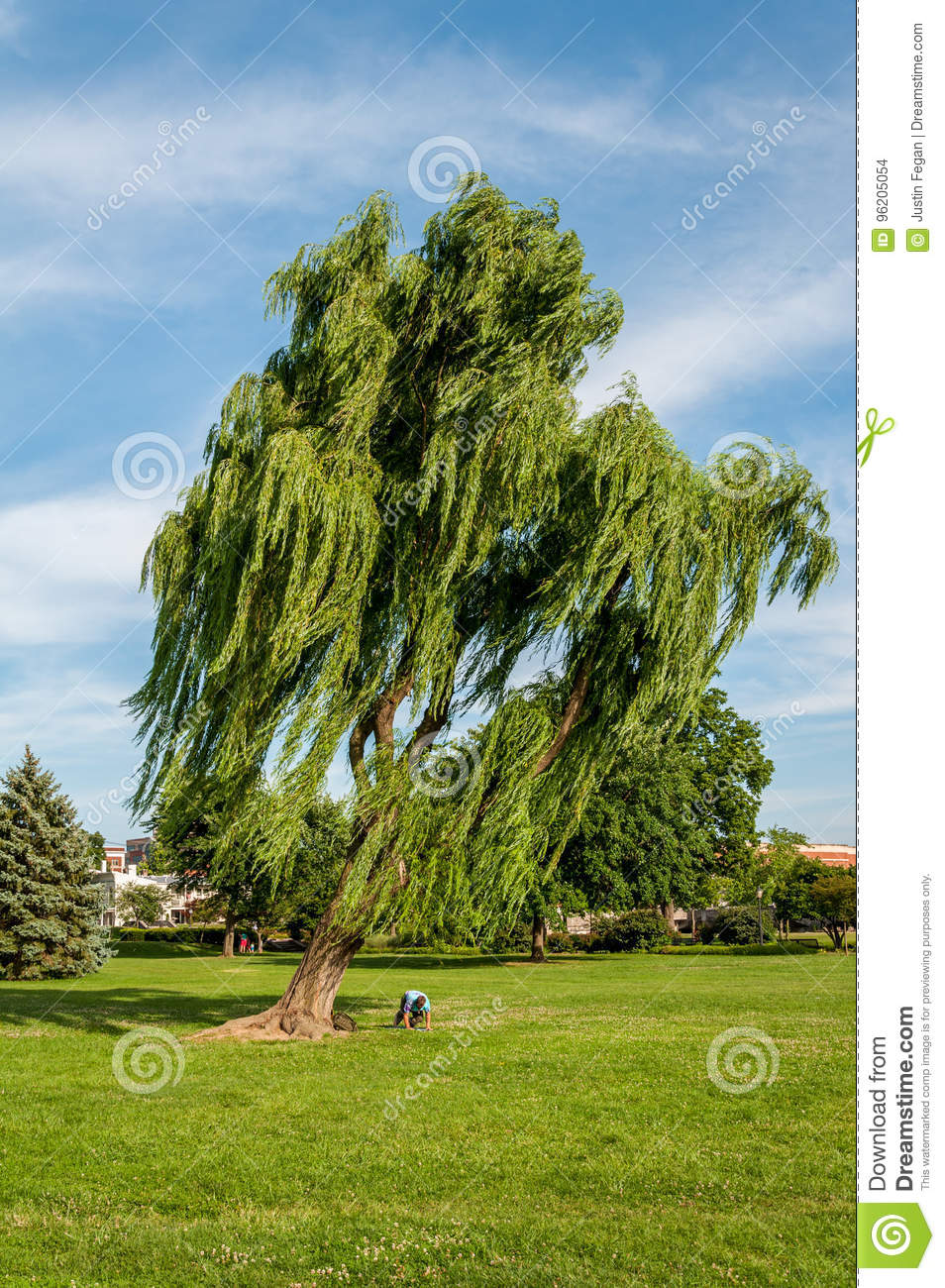Leaning Weeping Willow Tree in Baker Park - Frederick, Maryland