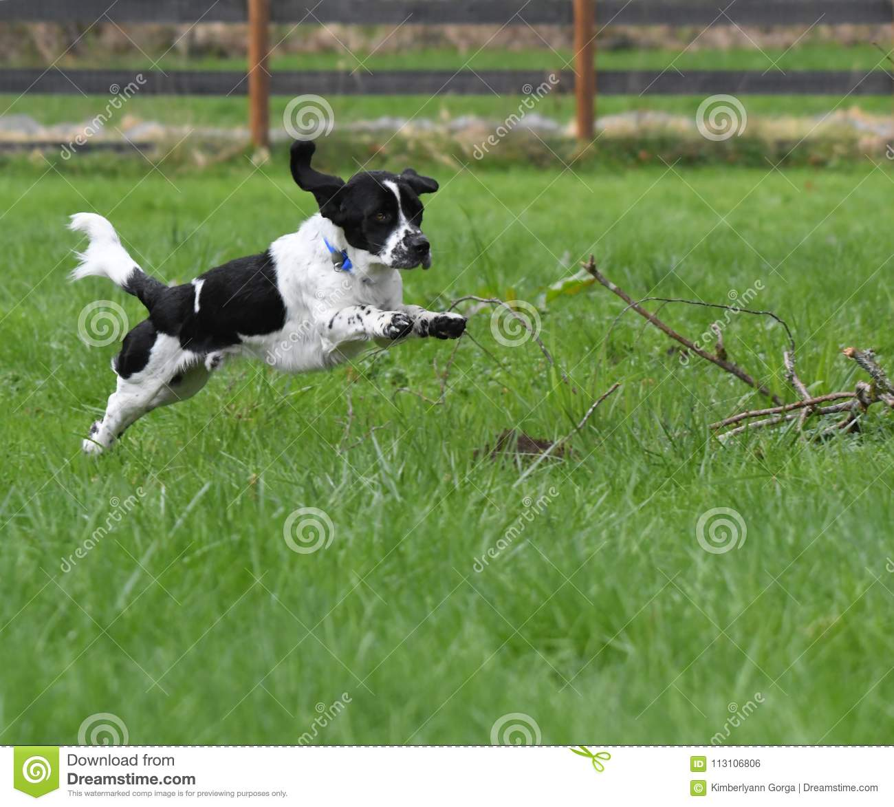 Leaping Black and White English Setter