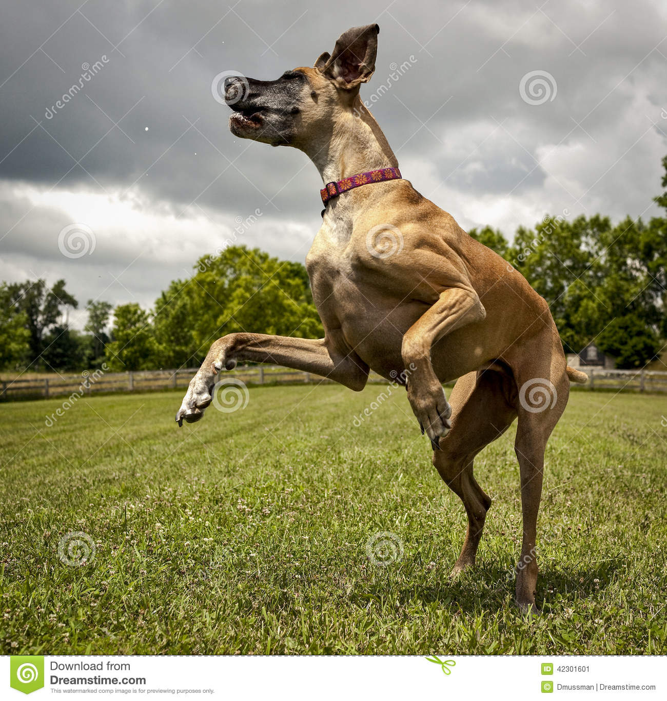 Leaping Great Dane Stock Photo