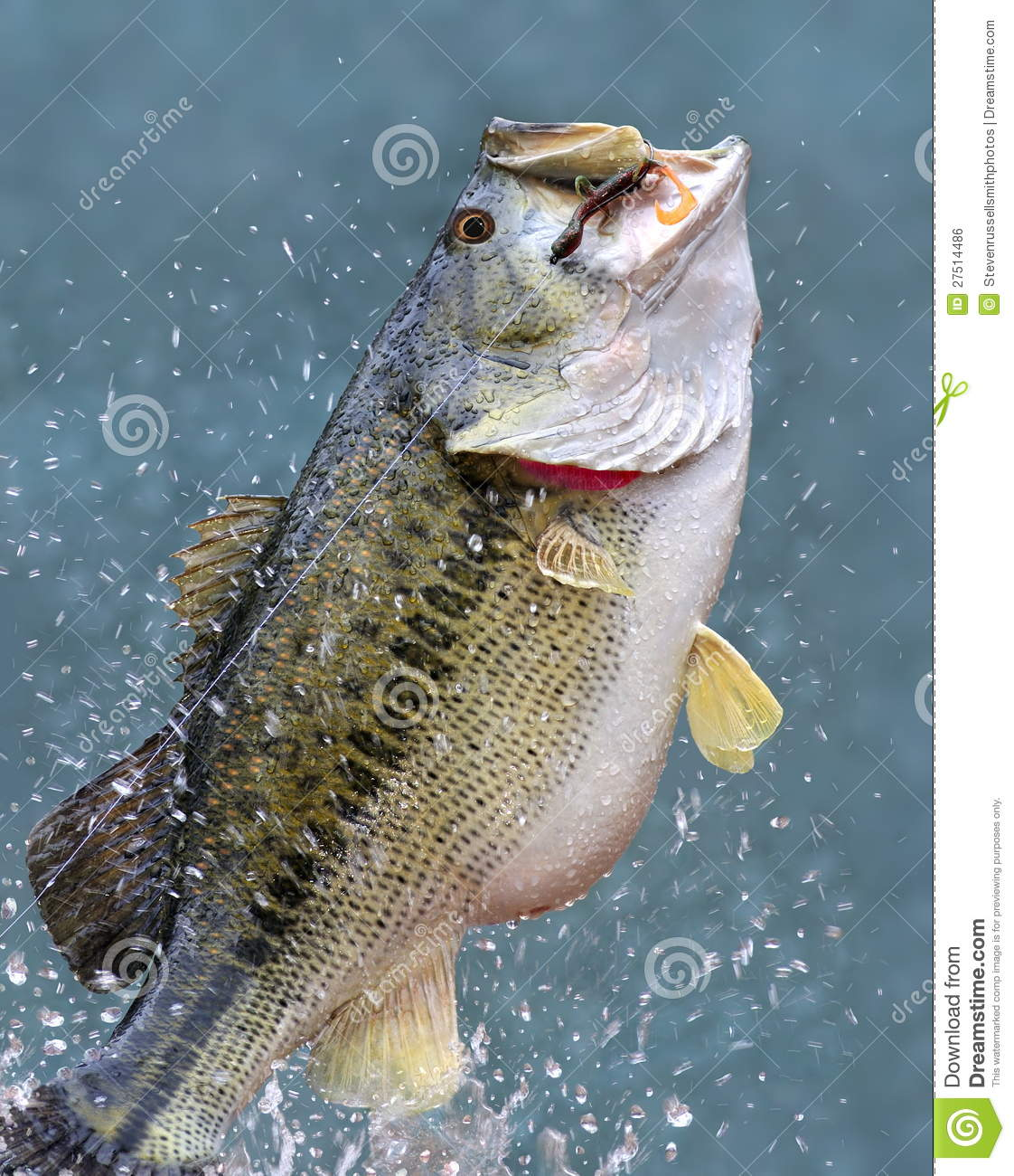 Leaping Largemouth Bass (Micropterus salmoides)