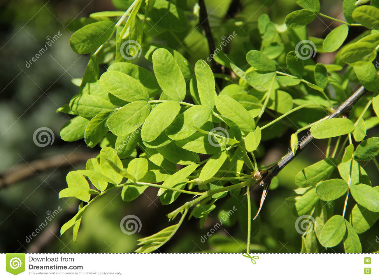 Leaves Of Acacia Tree Stock Photo Image Of Ecology Plant 71177956