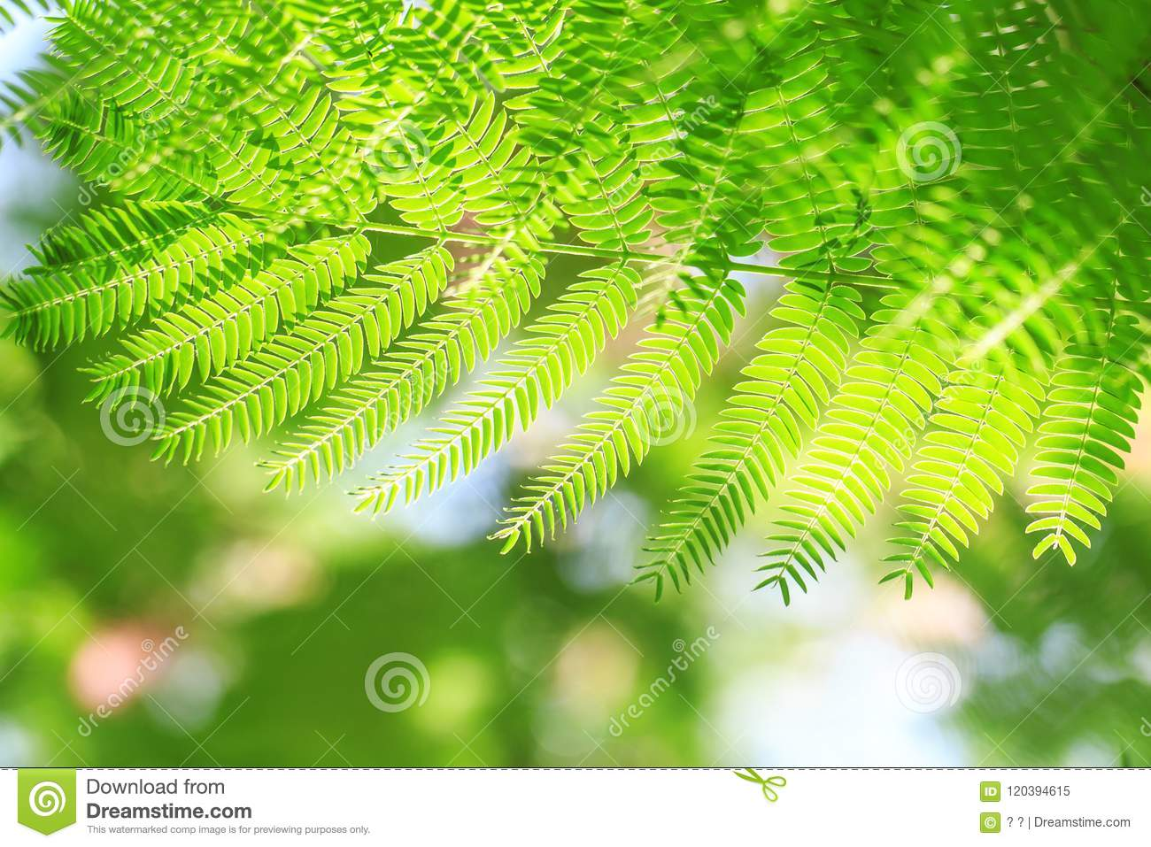 The Leaves Of The Acacia Tree Stock Image Image Of Green Nobody