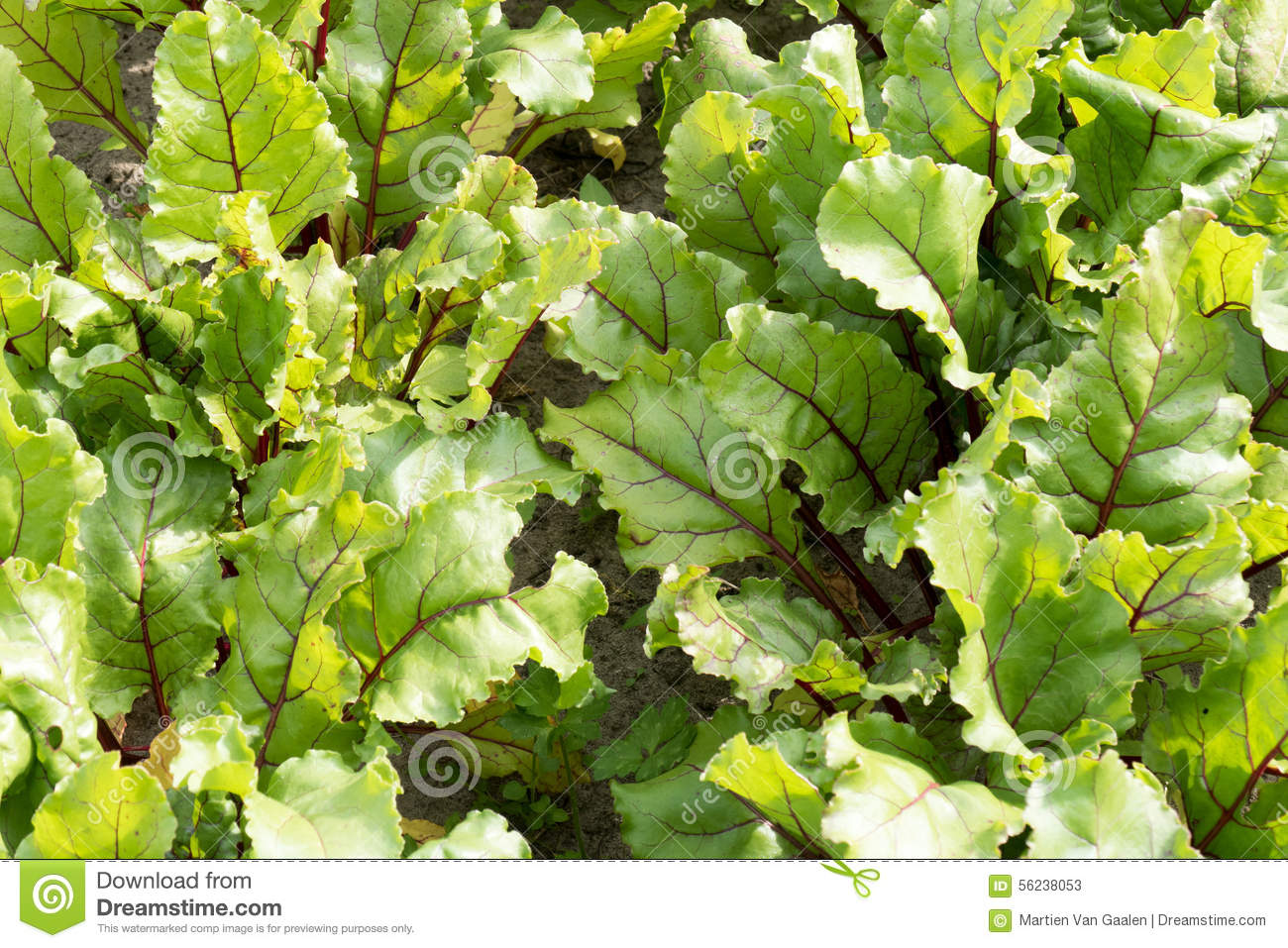 Leaves of beet plants stock photo image 56238053 for Dream plants for the natural garden