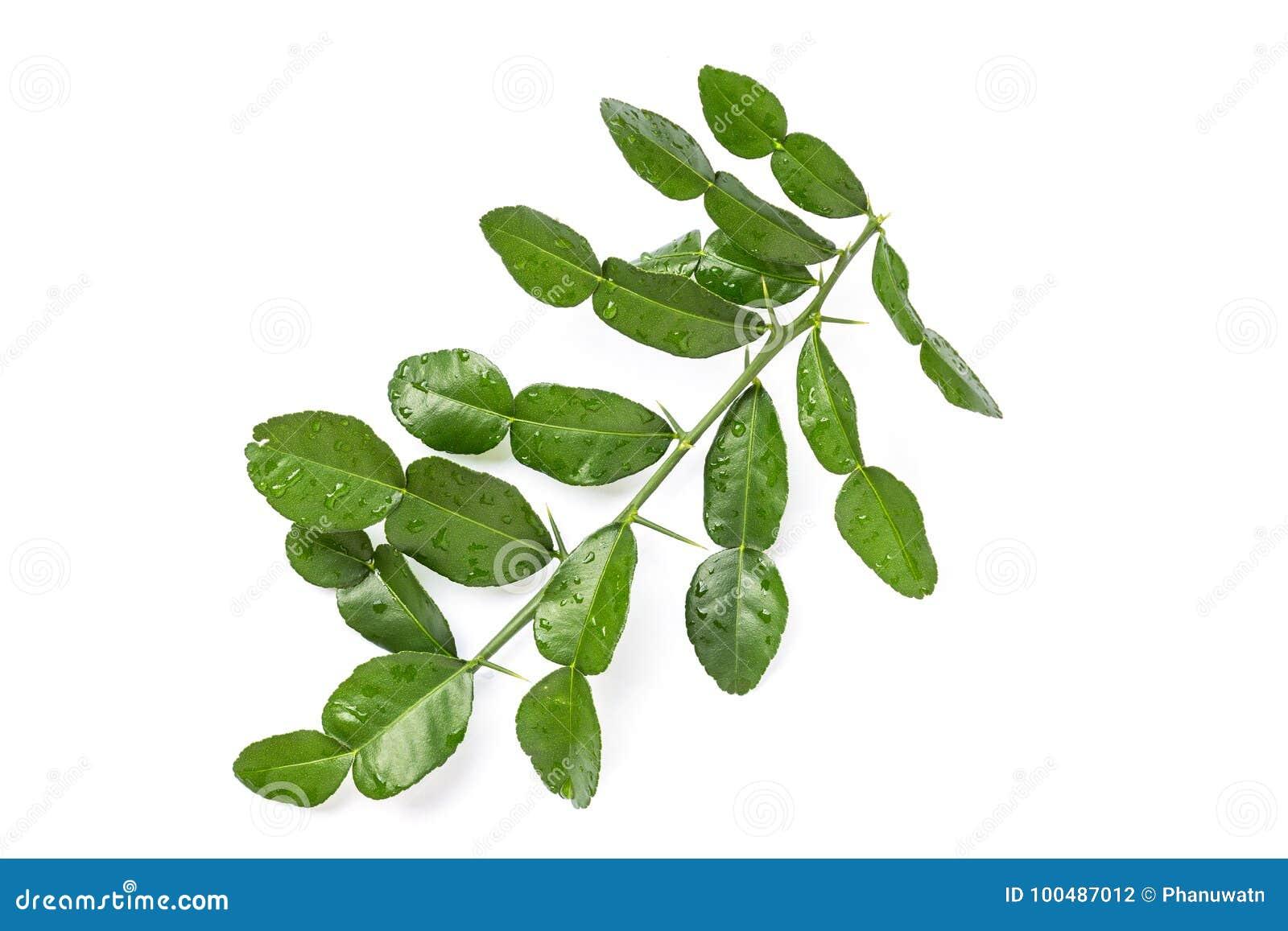 Leaves of Bergamot tree or kaffir lime leaves isolated on white
