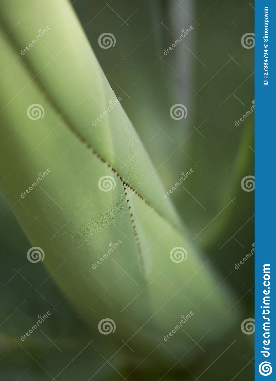 Leaves close up of Agave mitis