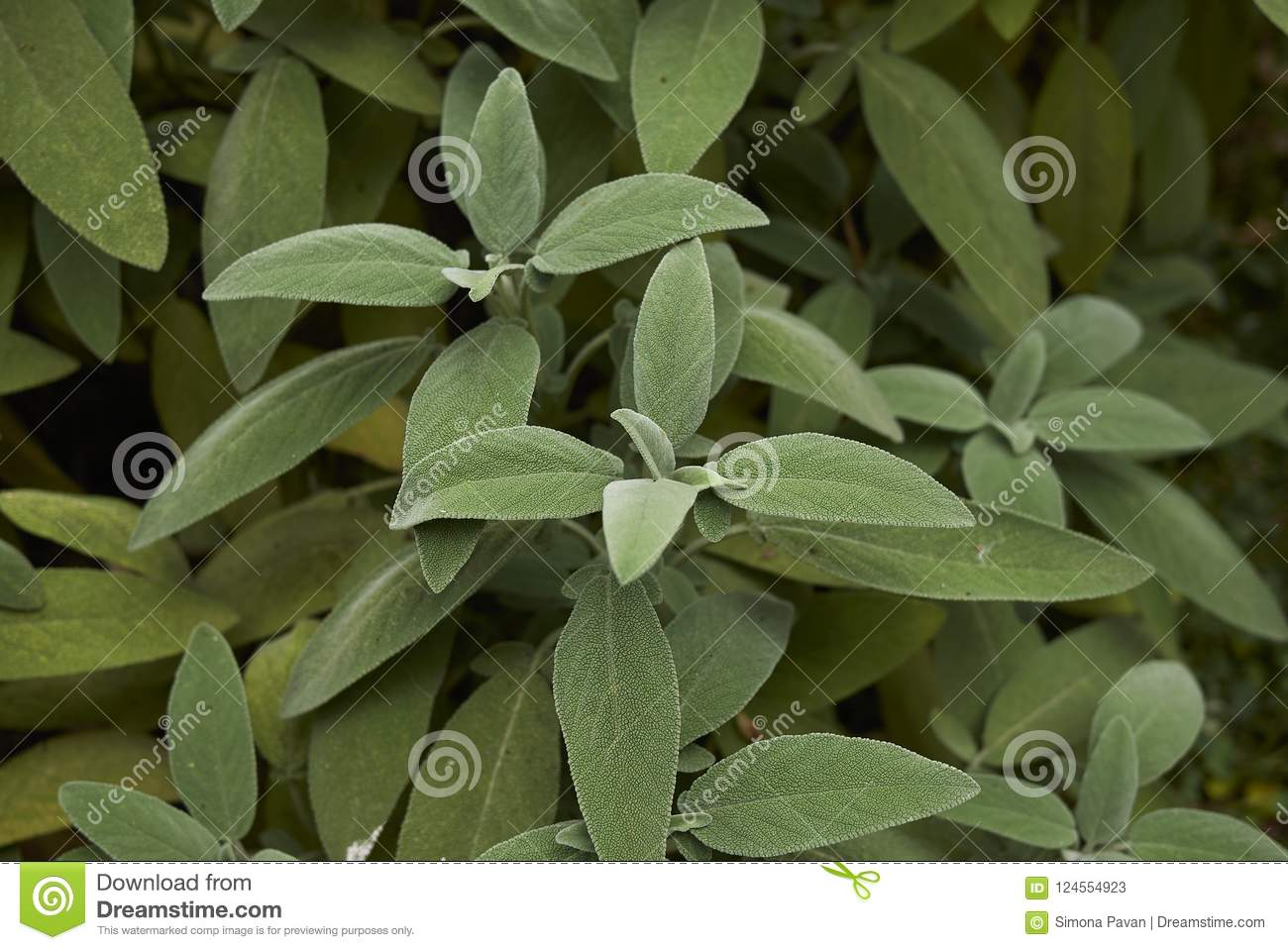 Leaves close up of Salvia officinalis