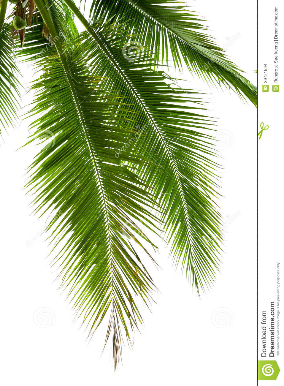 Leaves Of Coconut Tree Isolated On White Background Stock ...