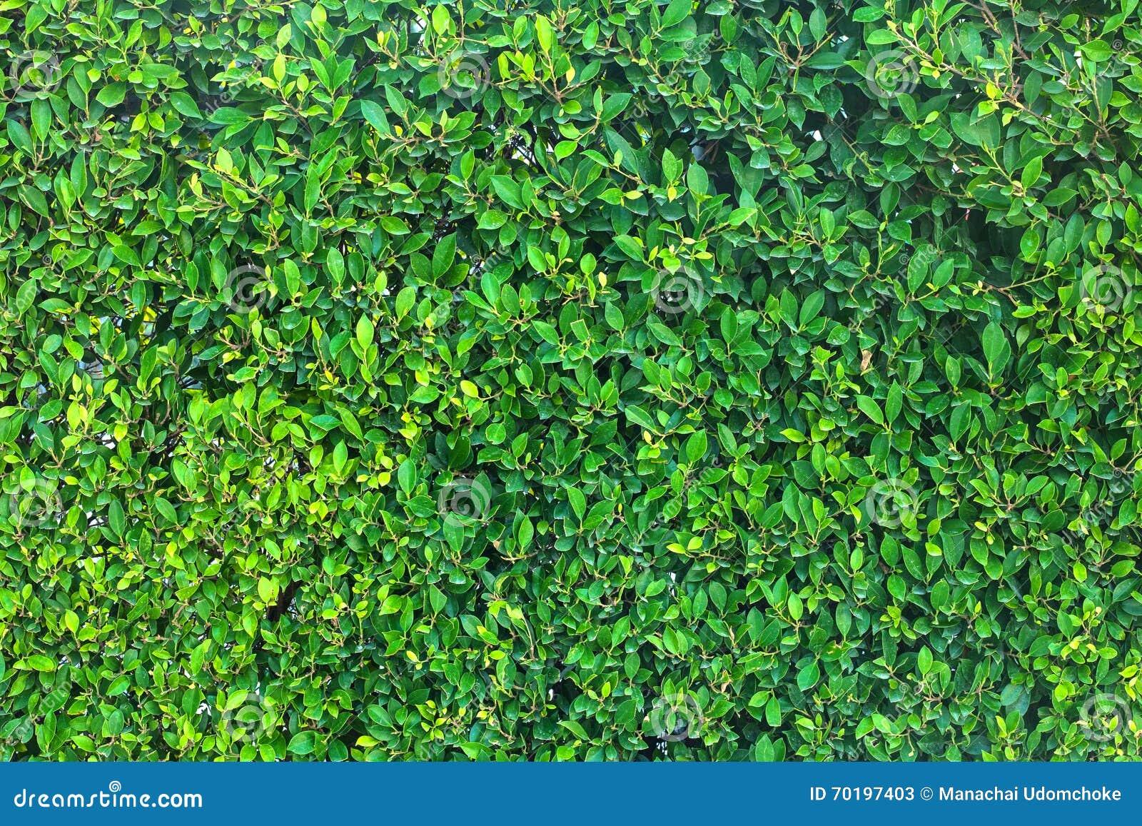 Leaves för acaciabakgrundsgreen