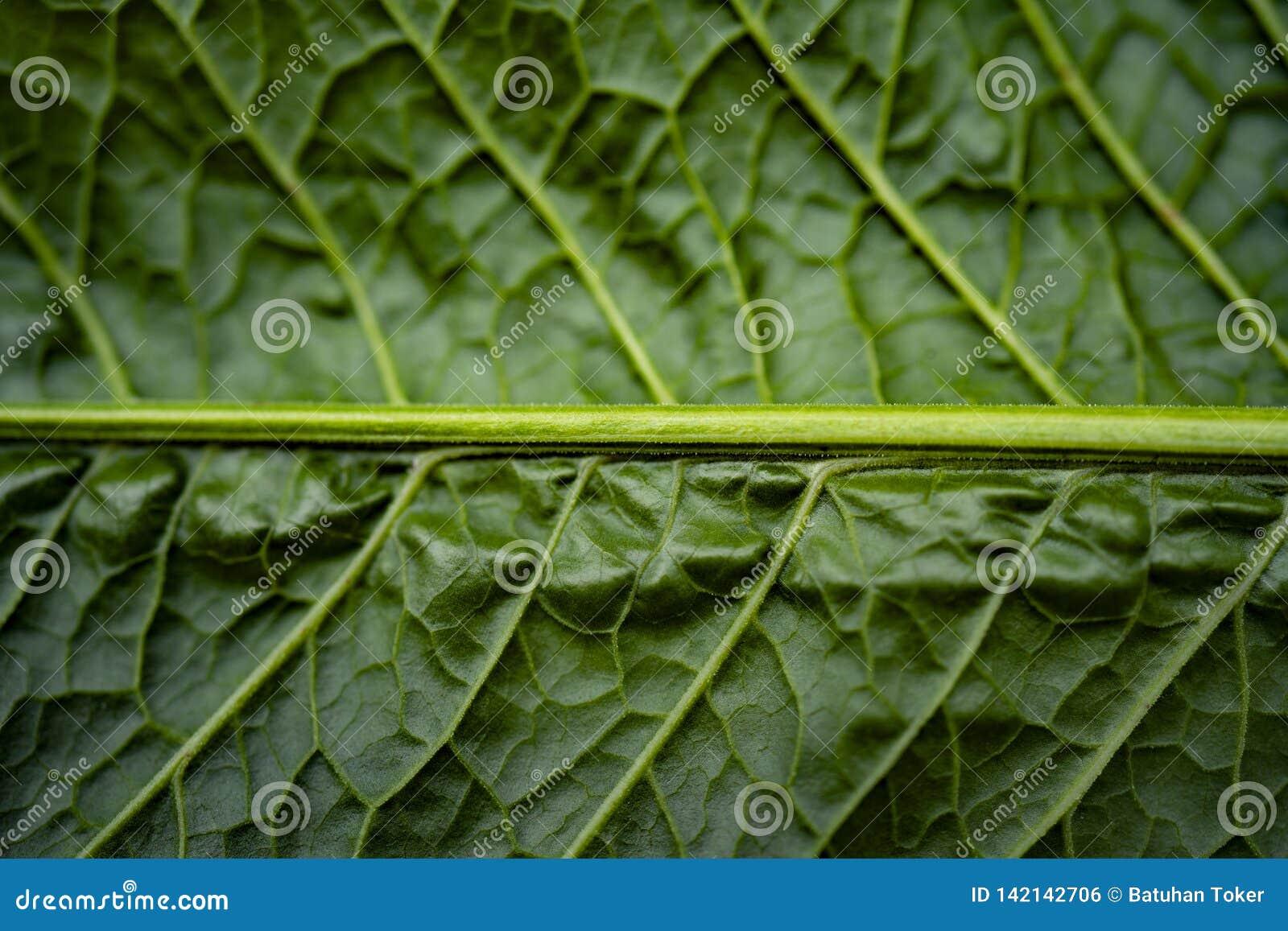 Leaves för acaciabakgrundsgreen låt vara textur