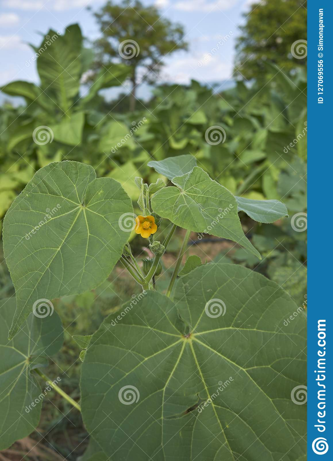 Leaves And Flower Of Abutilon Theophrasti Stock Photo Image Of