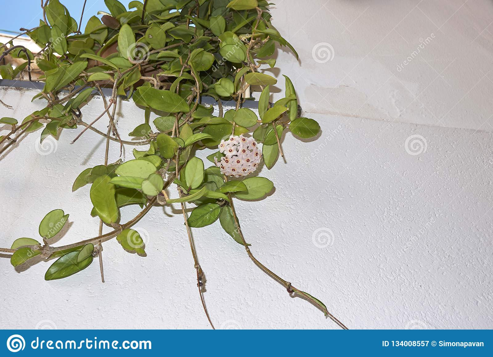 Hoya carnosa in bloom