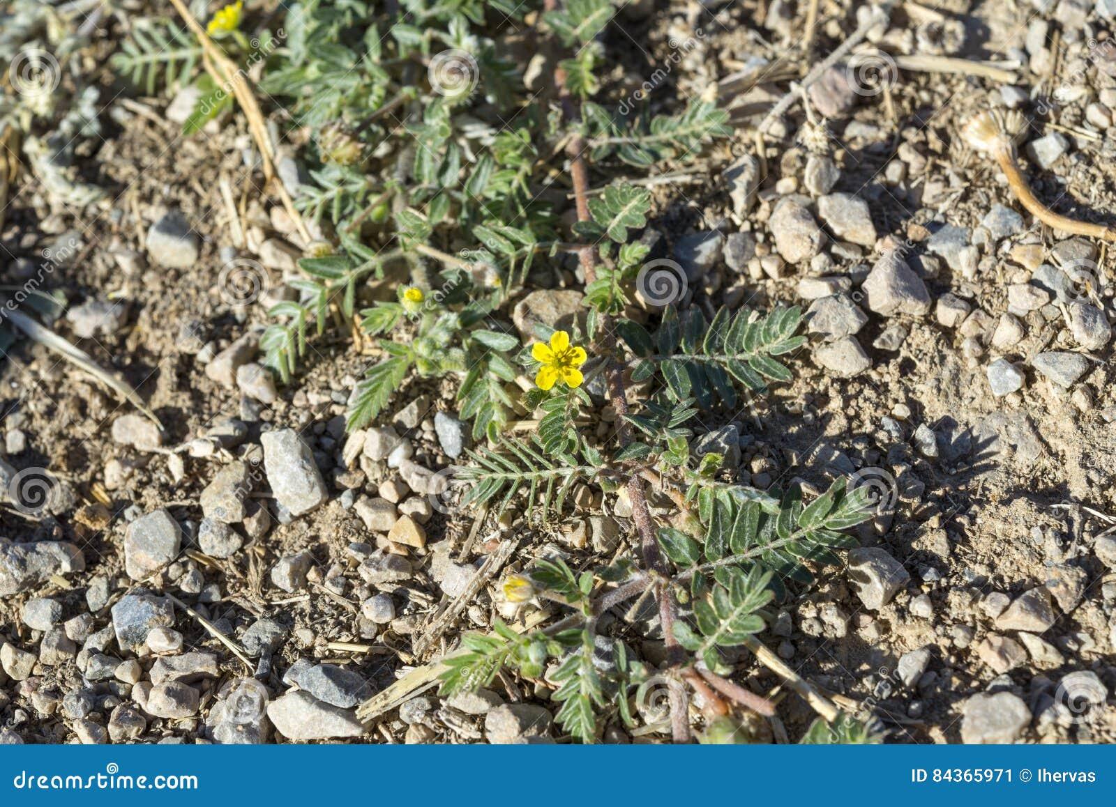 Leaves And Flowers Of Tribulus Terrestris Stock Image Download Macro