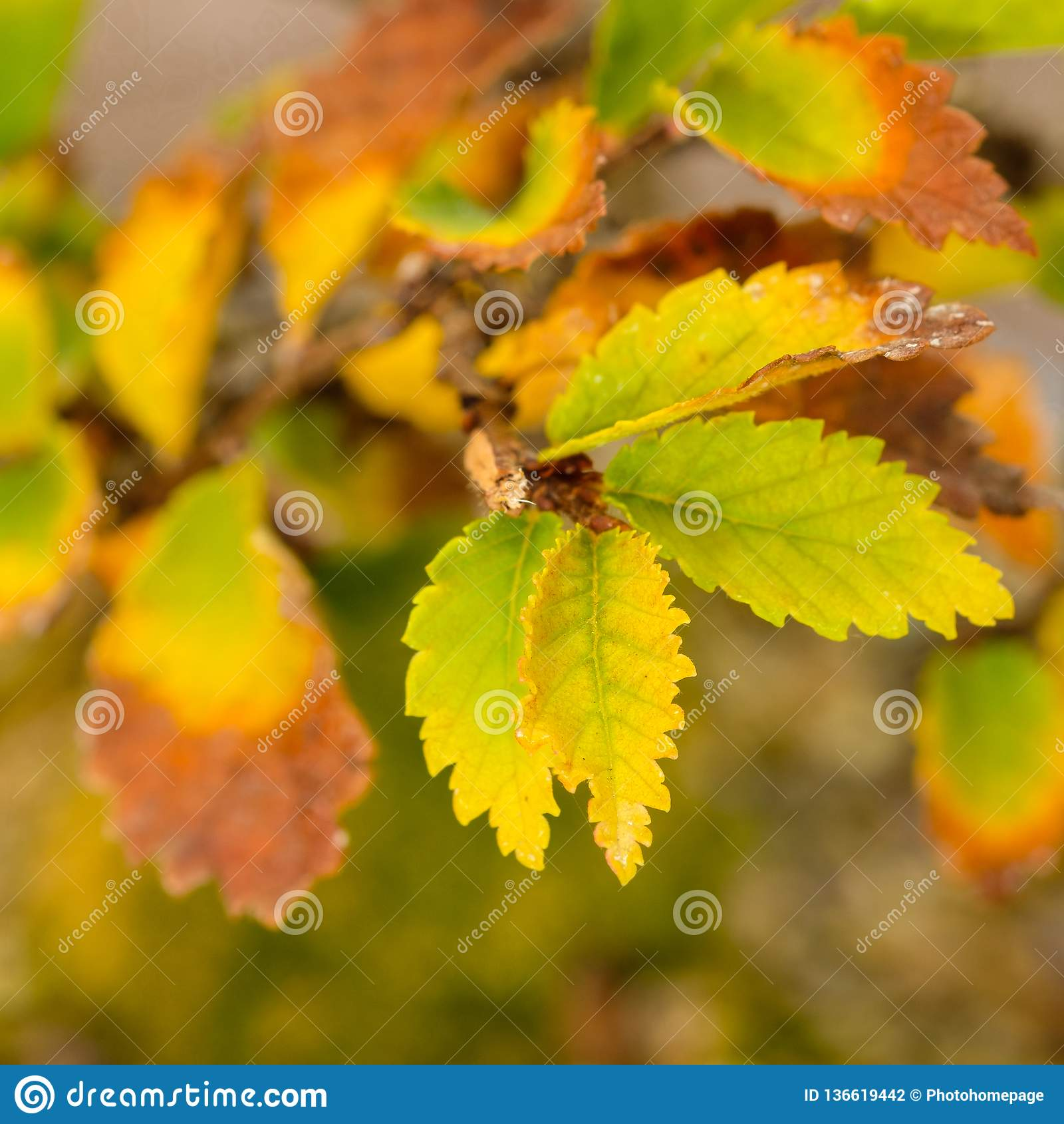 Leaves Foliage Elm Bonsai Tree In Autumn Stock Photo Image Of Parvifolia Trunk 136619442