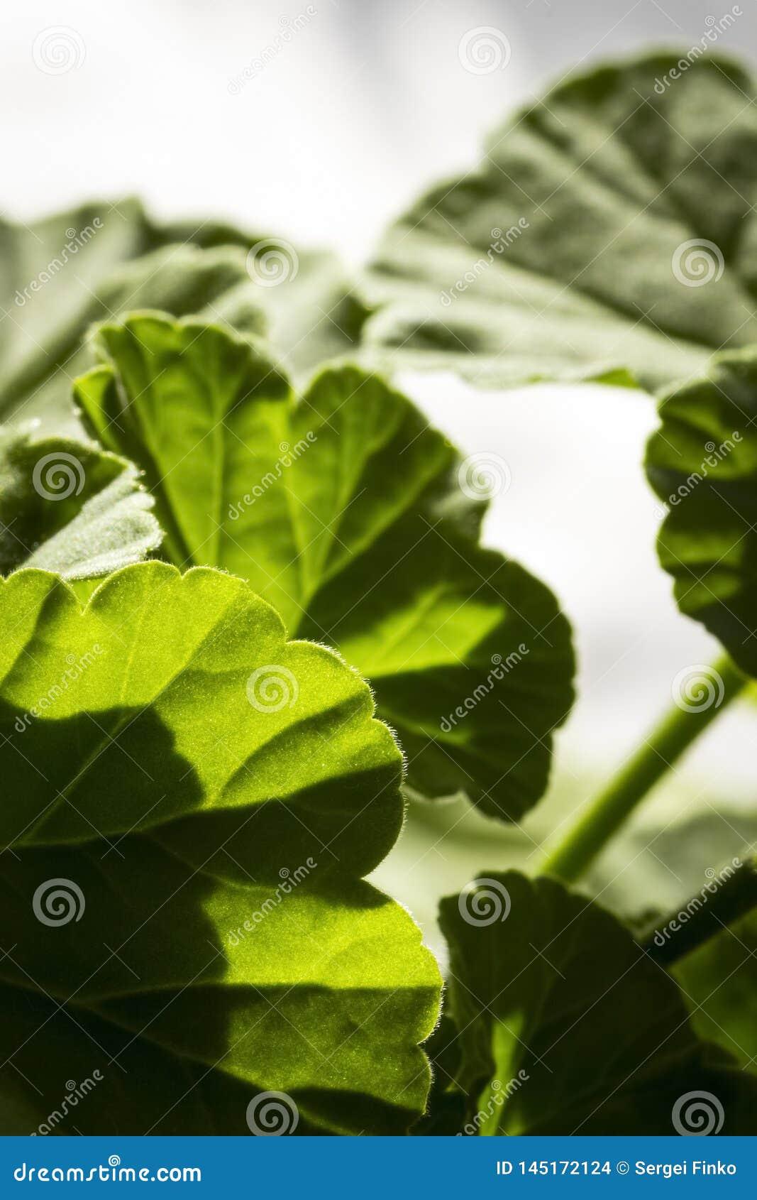 Leaves of geranium