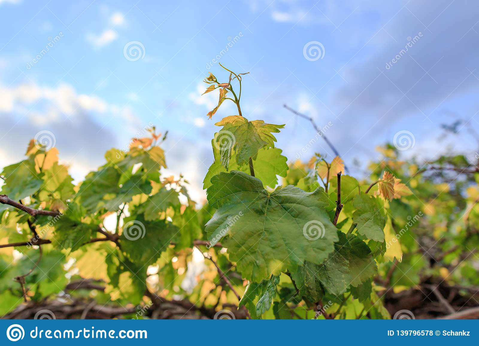 Leaves on grapes in nature