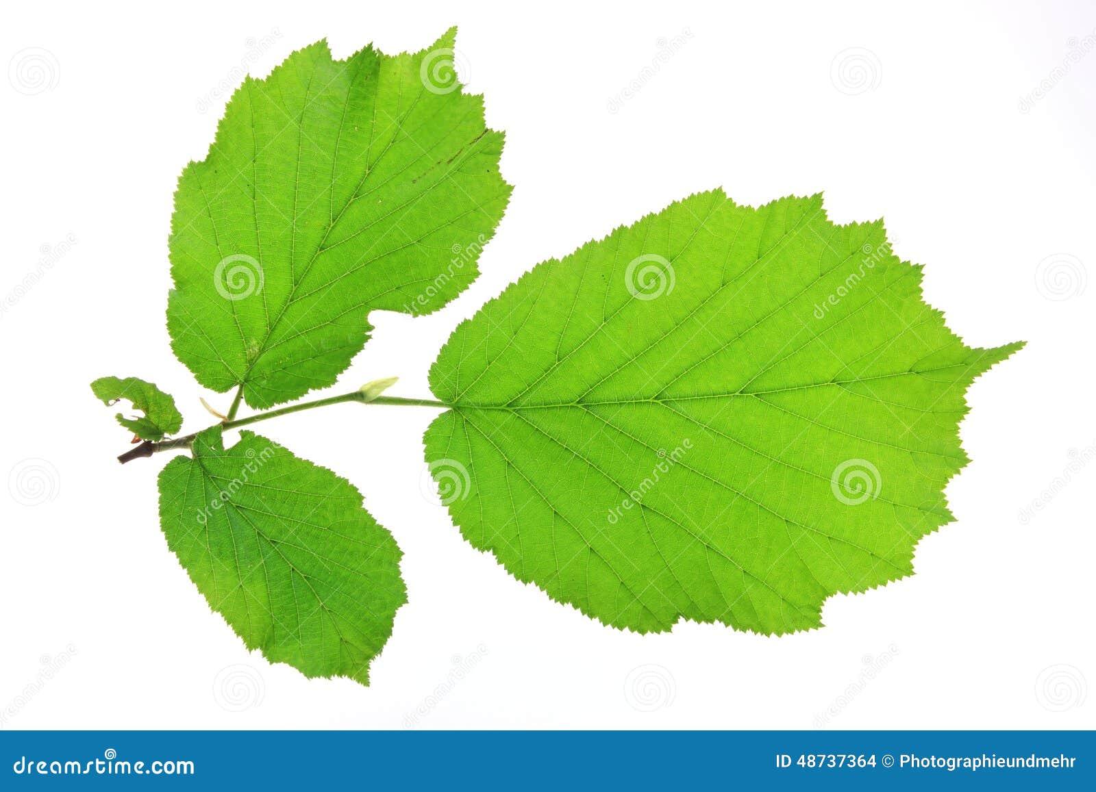 Leaves Of The Hazel Tree (Corylus Avellana) Stock Photo ...