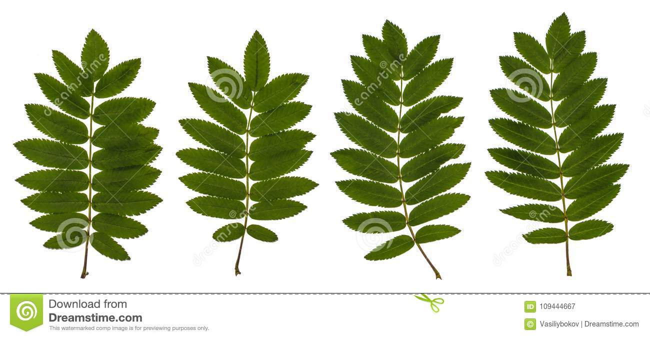The leaves of mountain ash, red ash, Sorbus aucuparia, the Rowan set of leaves, compound leaves, leaves on a white background