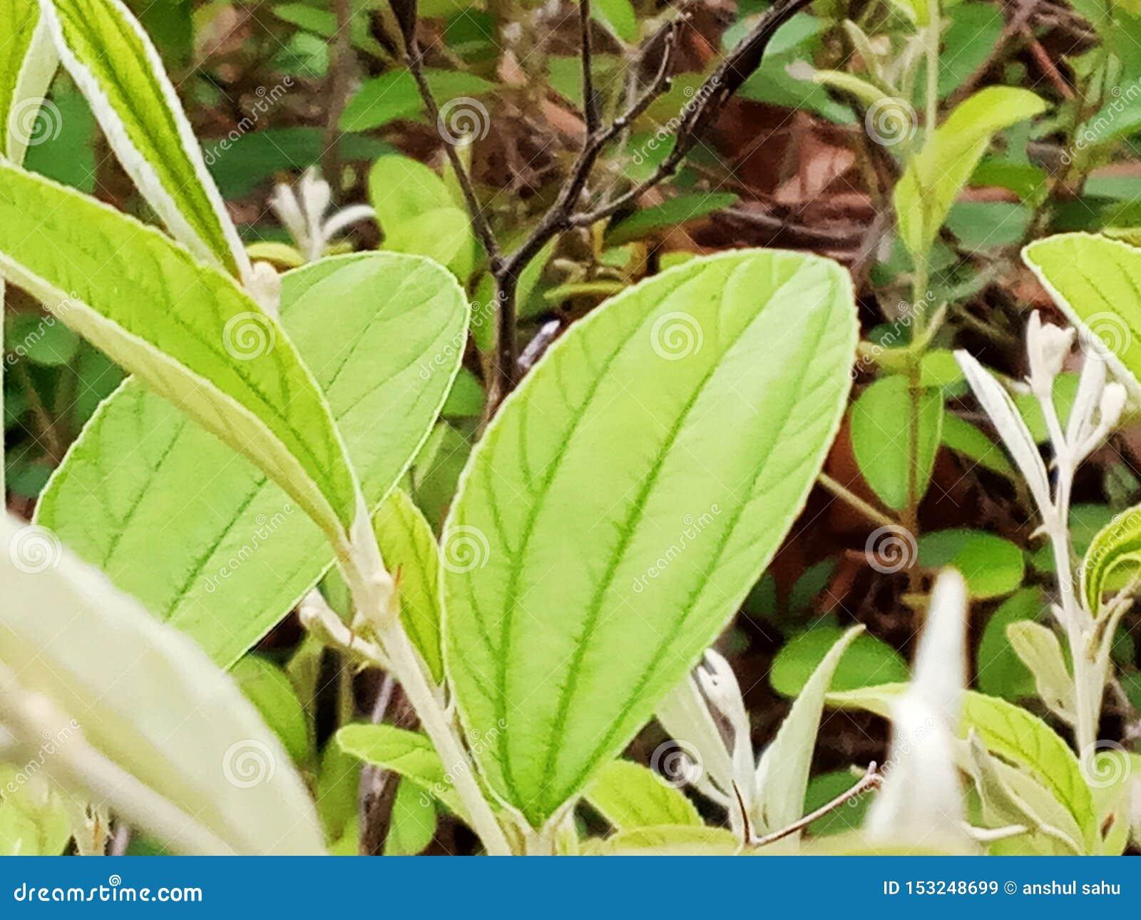 Leaves natural bilar plant bright