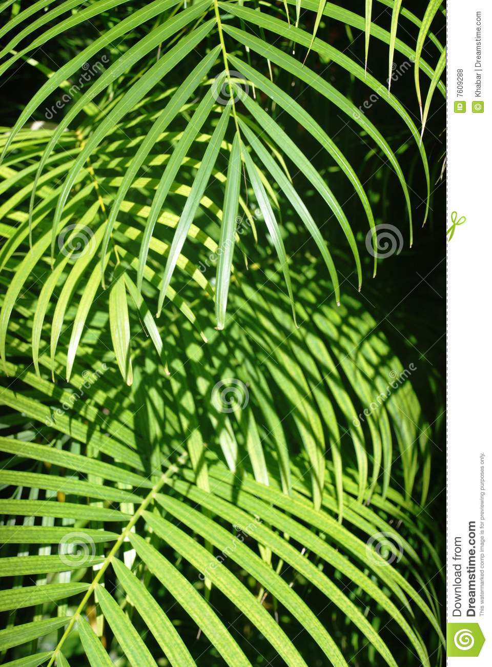 leaves of a palm tree royalty free stock photos image 7609288