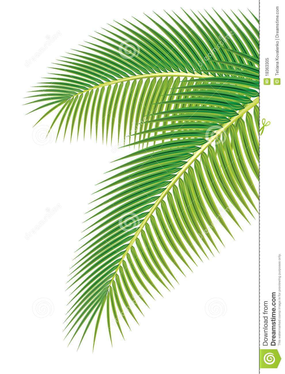 Leaves Of Palm Tree On White Background Royalty Free
