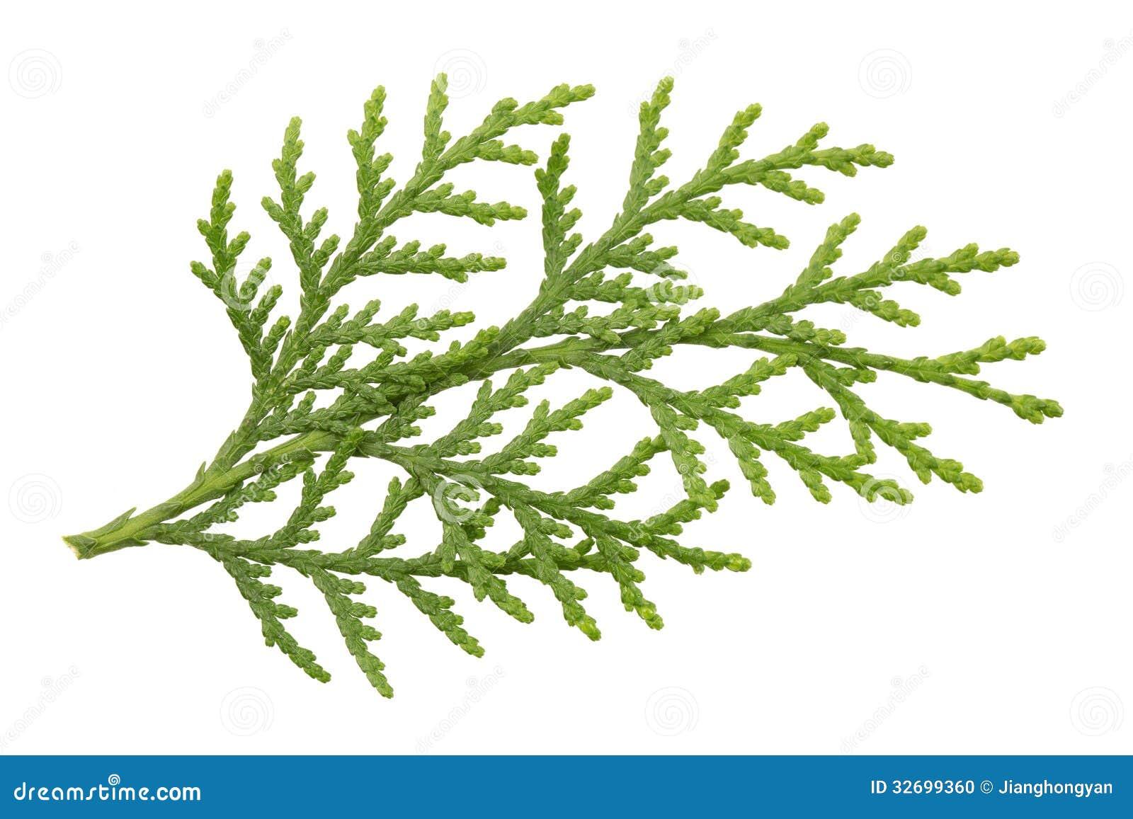 Pine Leaves Scientific...