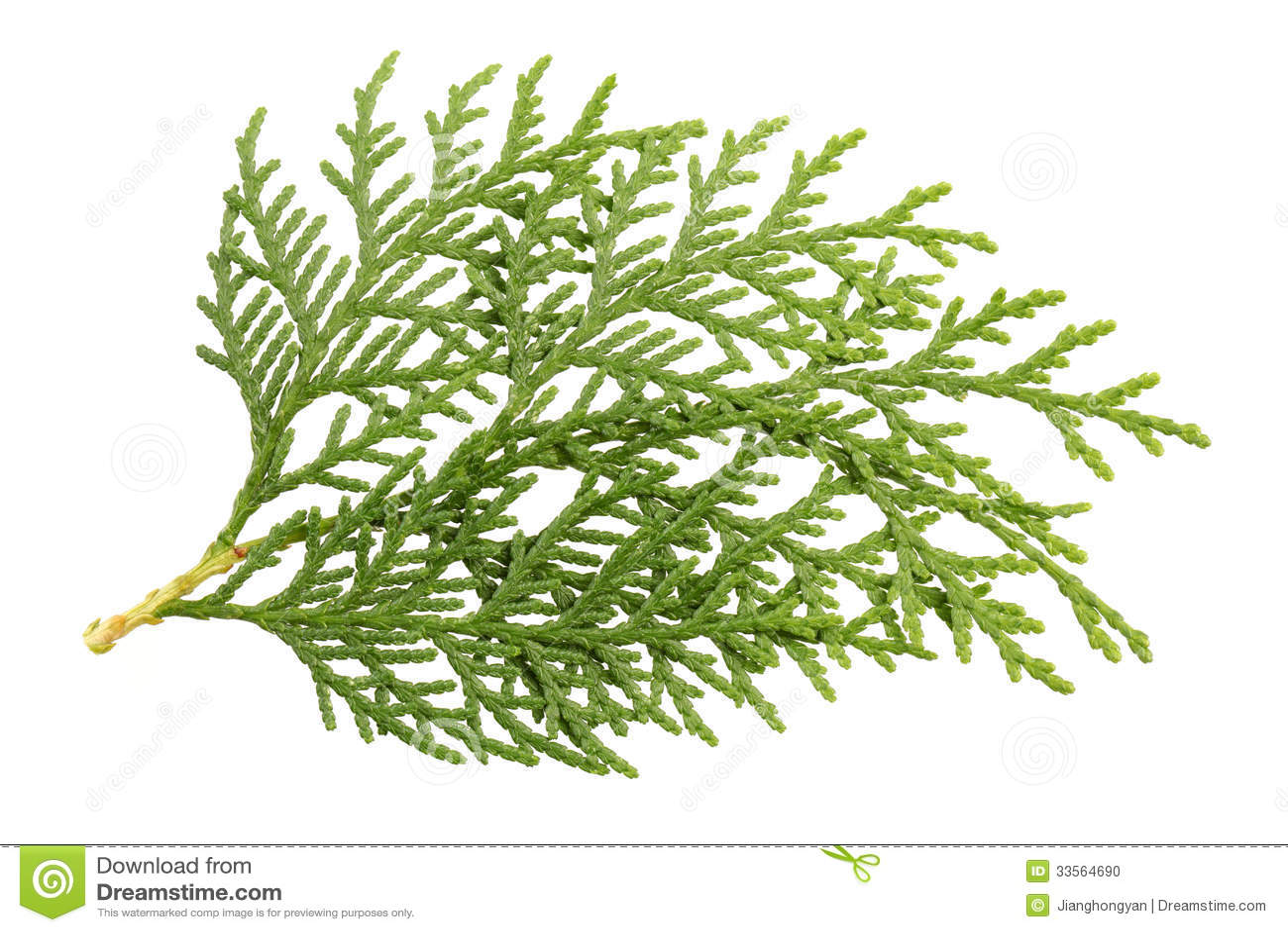 Leaves of pine tree or...