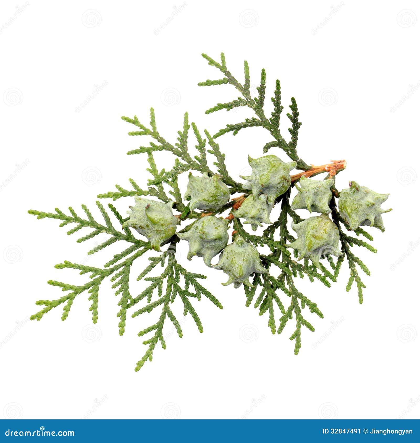 Leaves of pine tre...