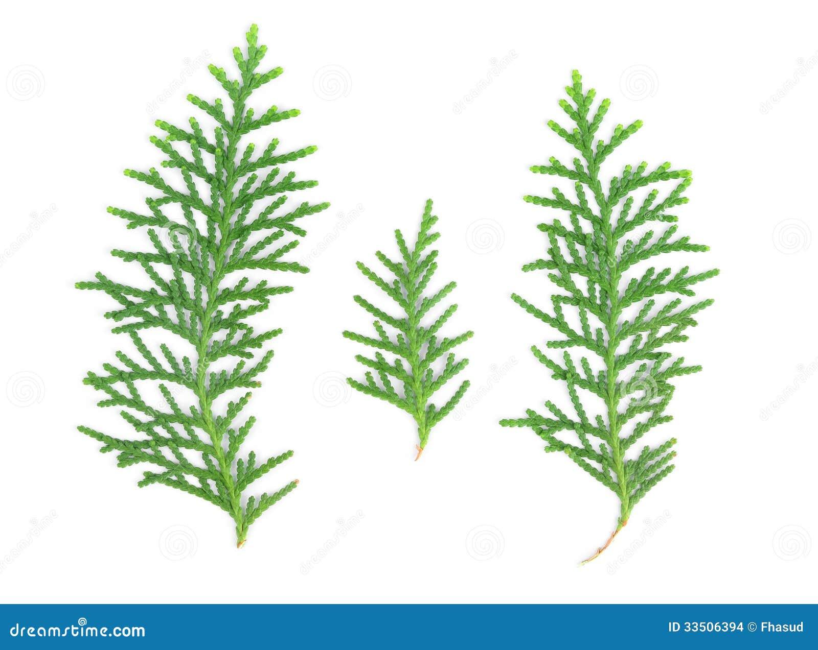 Leaves Of Pine Tree On...