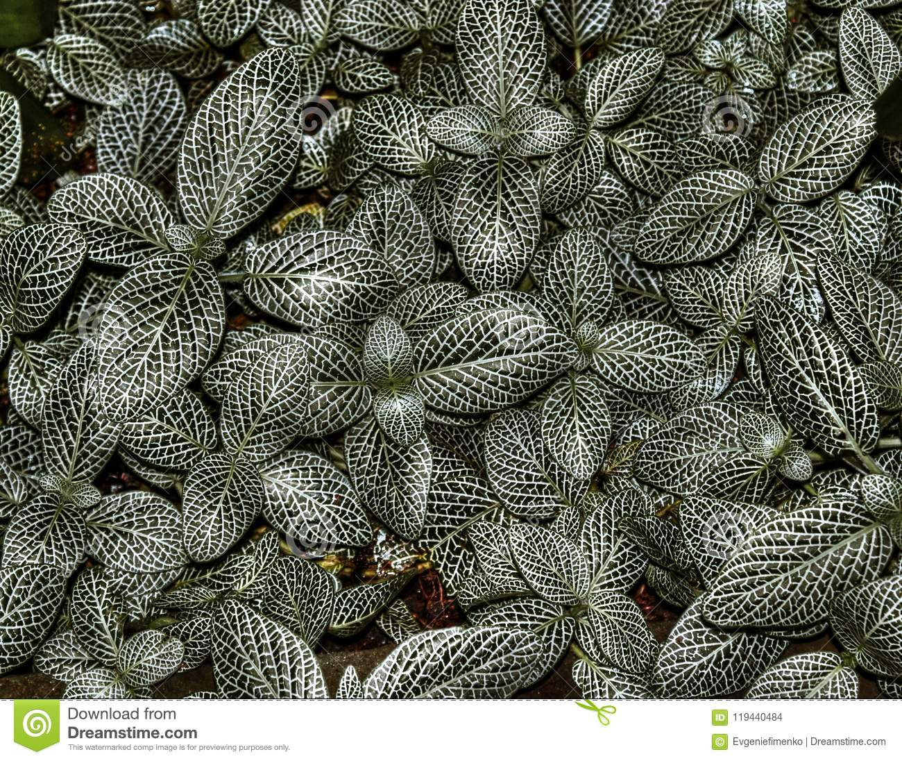 Leaves of plant Fittonia Albivenis
