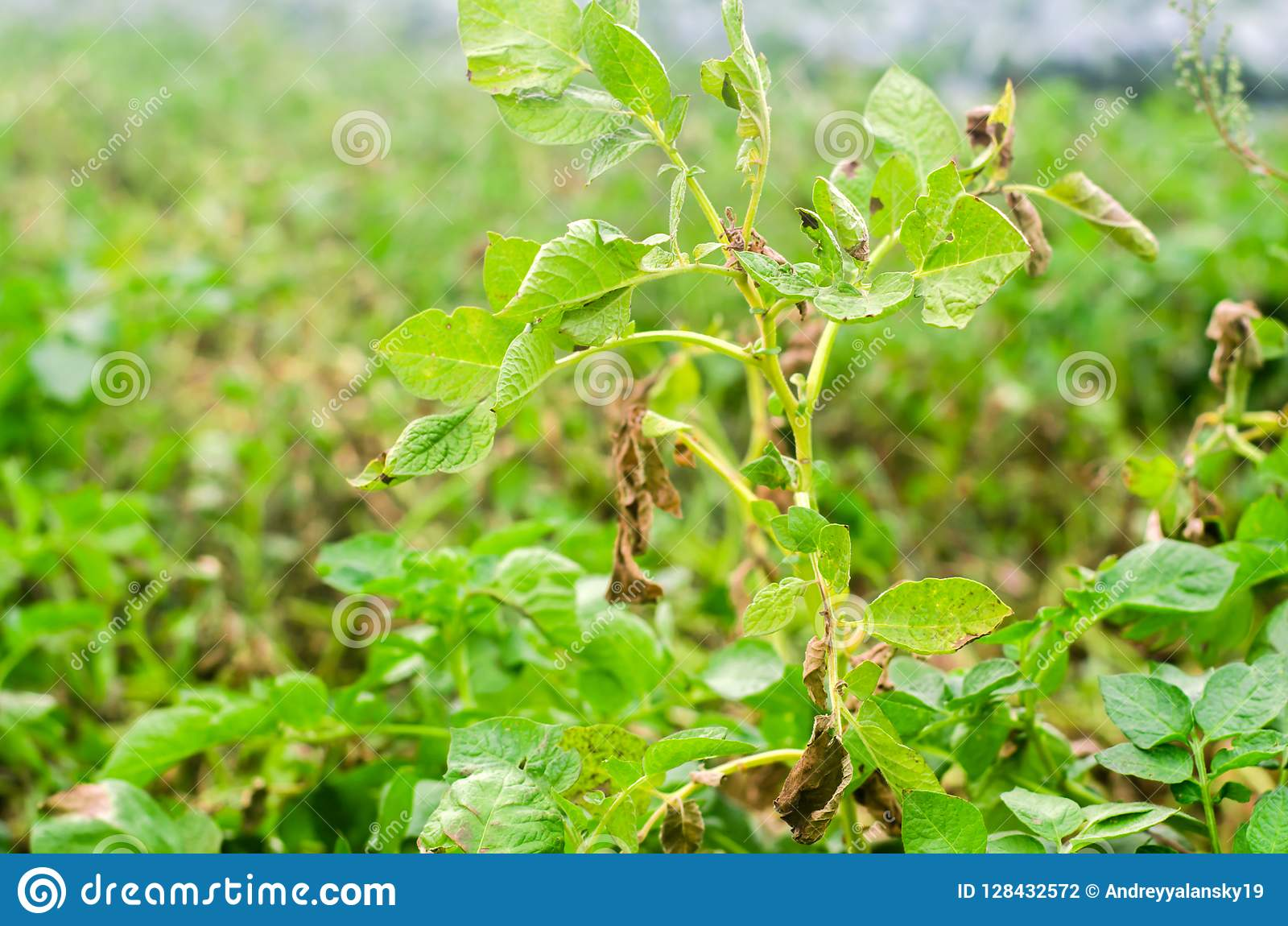 Leaves Of Potato With Diseases. Plant Of Potato Stricken Phytophthora Phytophthora Infestans In the field. Close Up. vegetables.
