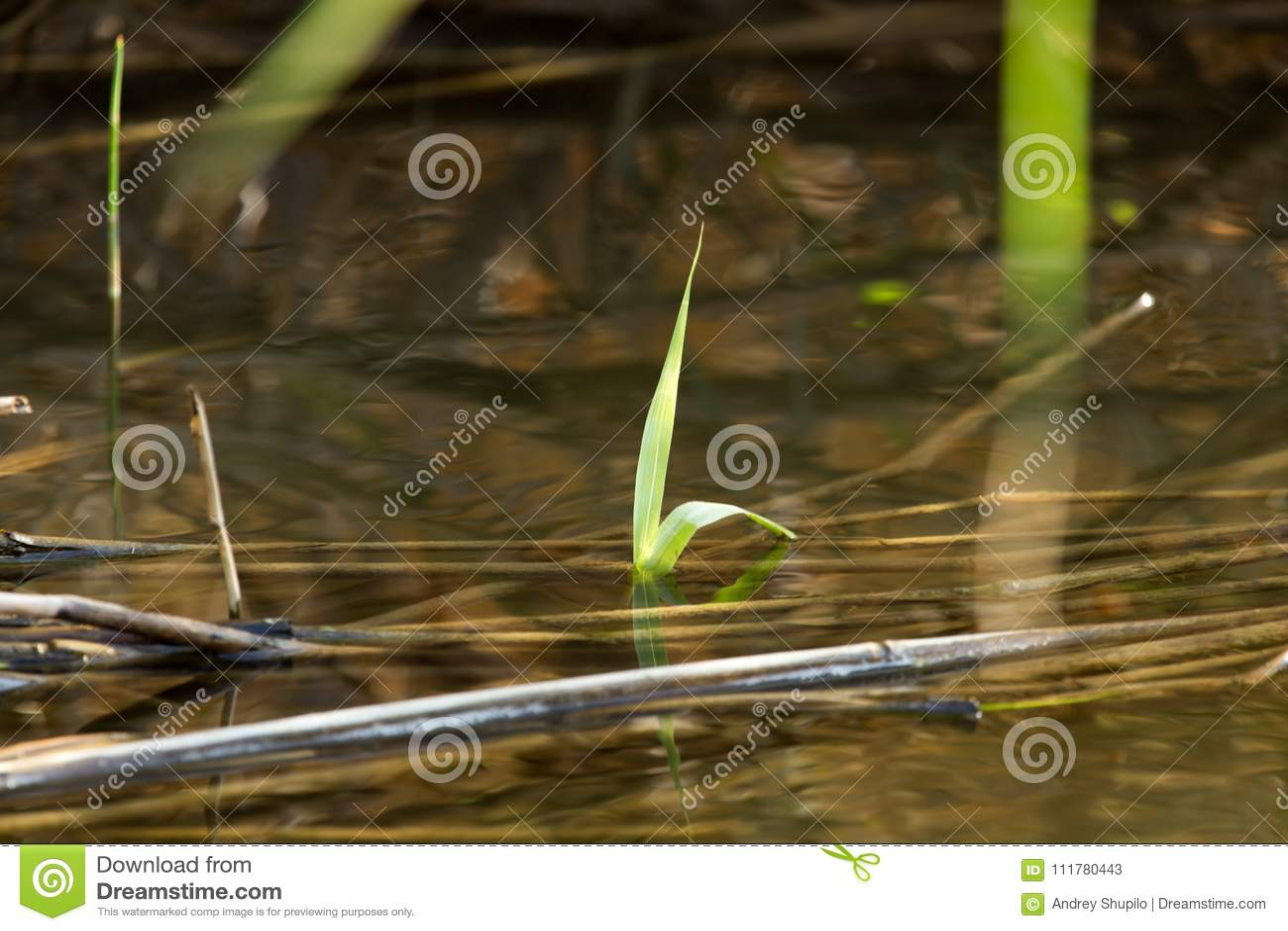 Leaves of reeds in water