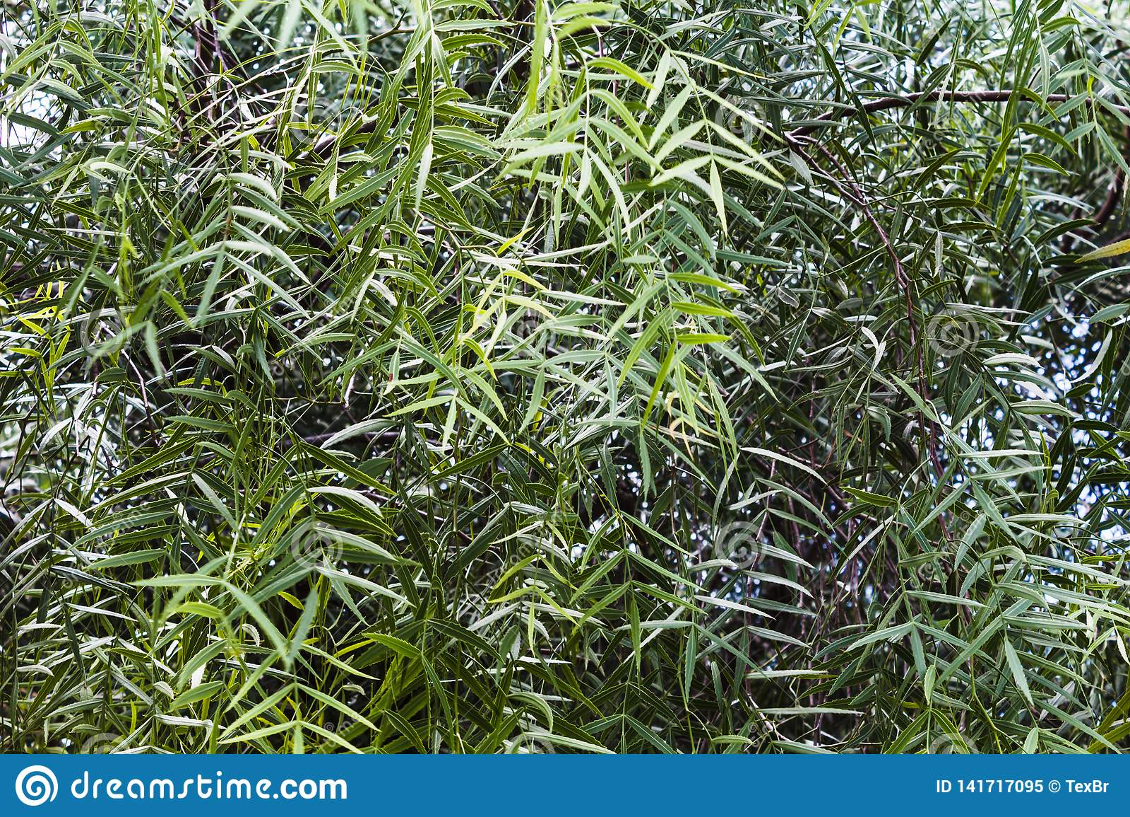 "Leaves of schinus molle or False Pepper tree. ""Aroeira Salsa"" in Brazil"