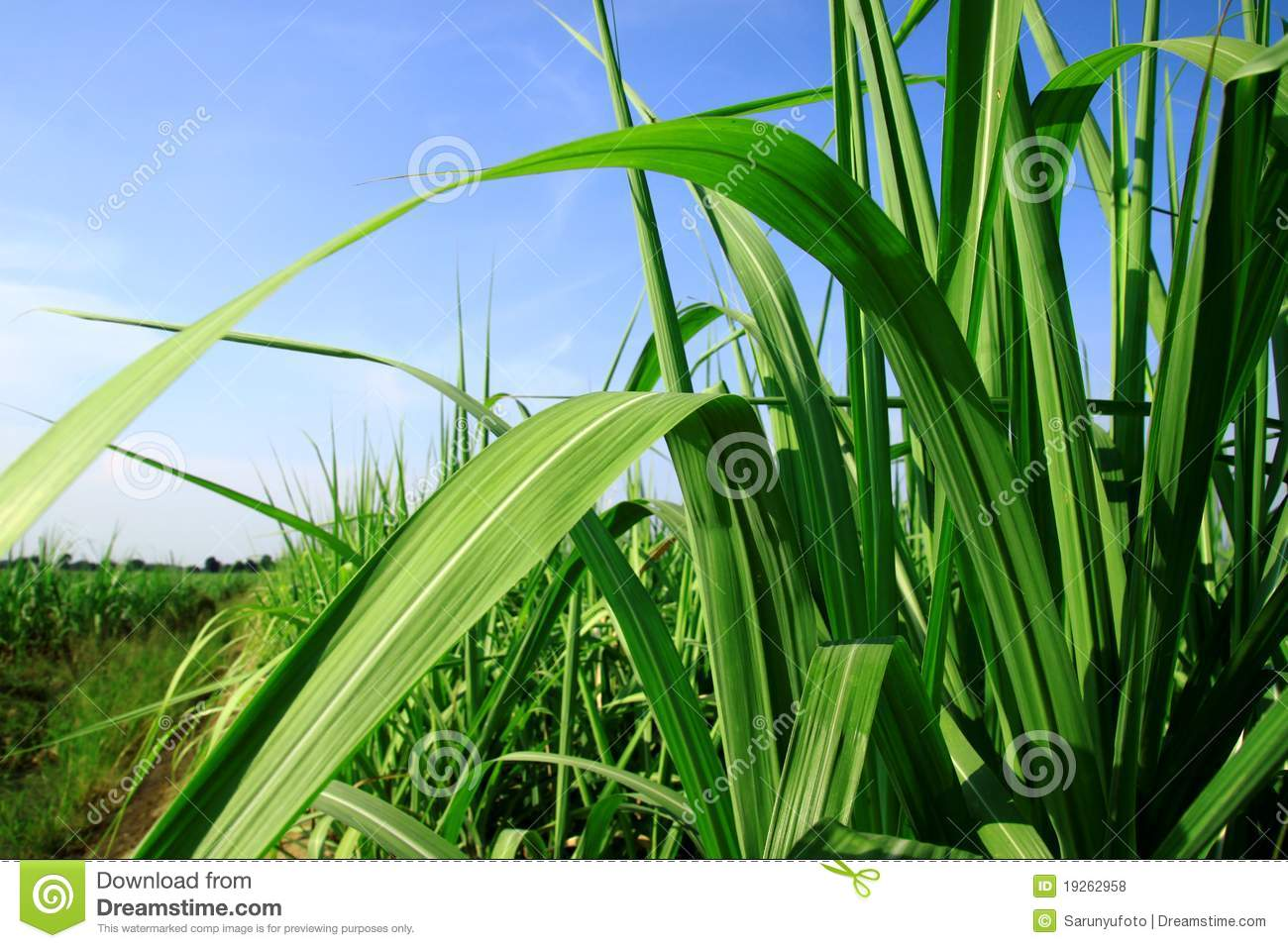 Leaves And Stems Sugarcane Stock Photo Image Of