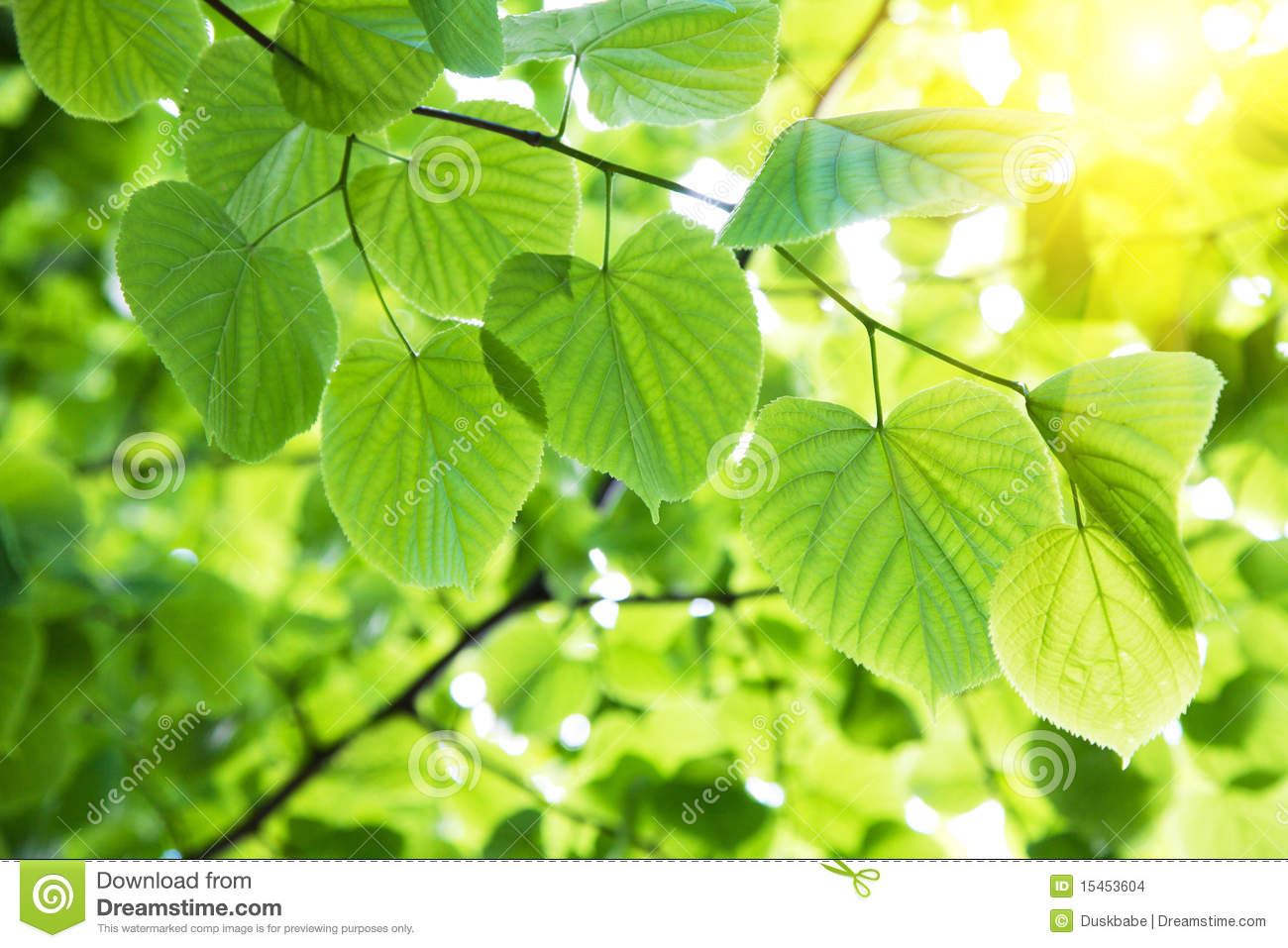 Leaves In Sunlight Stock Images - Image: 15453604