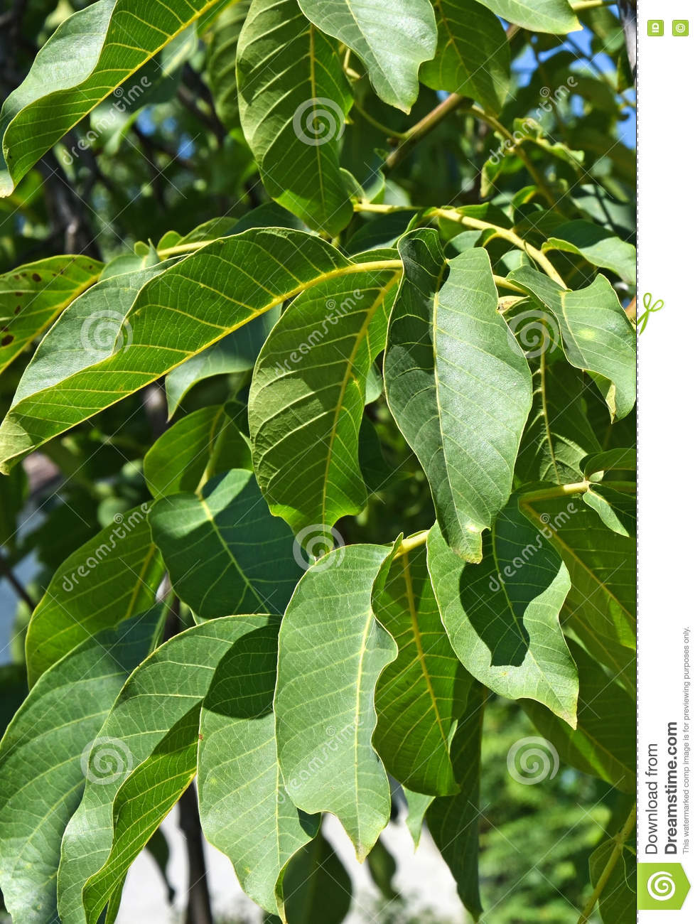 Leaves Of The Walnut Tree In Summer Stock Image - Image of