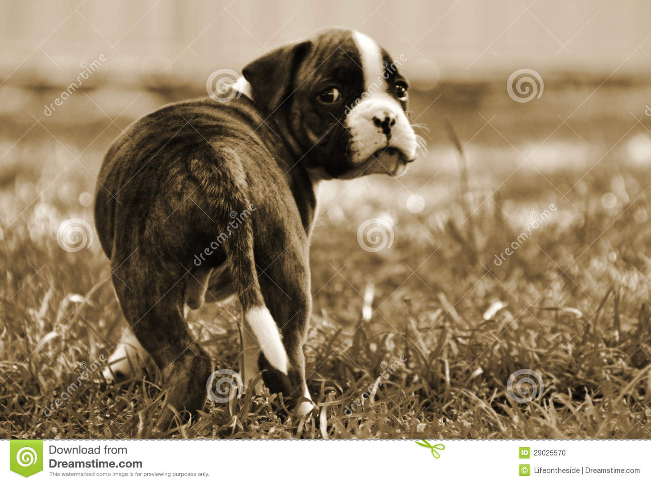 Leaving Home Boxer Puppy Looking Sad Stock Photo Image