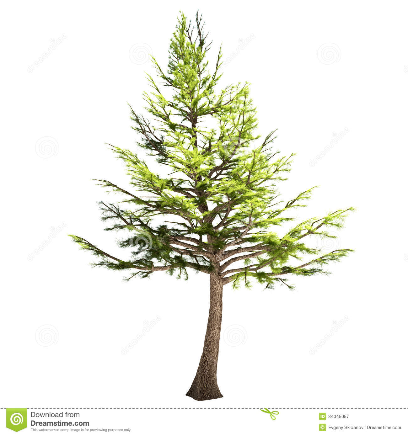 Pictures of cedar trees - Lebanon Cedar Tree Isolated Royalty Free Stock Photography