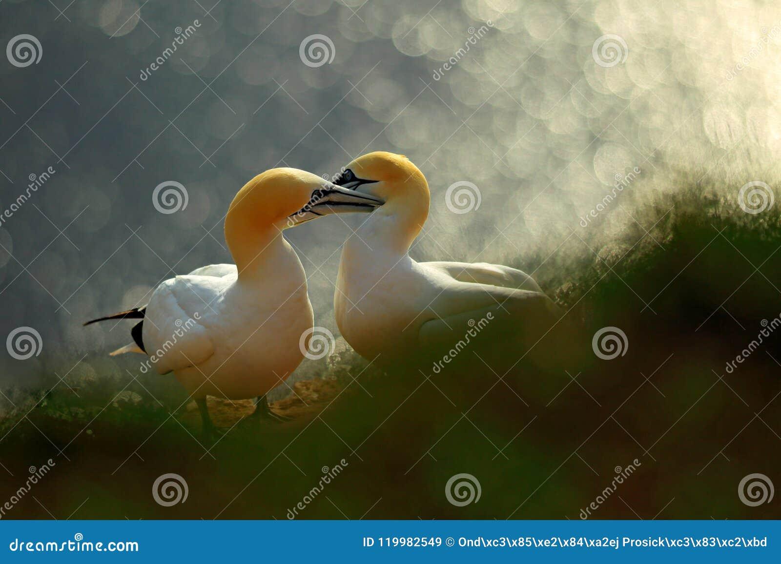 Leben auf Klippe Porträt von Paaren von Nord-Gannet, Sula bassana, orange Licht im Hintergrund glättend Liebe mit zwei Vögeln im