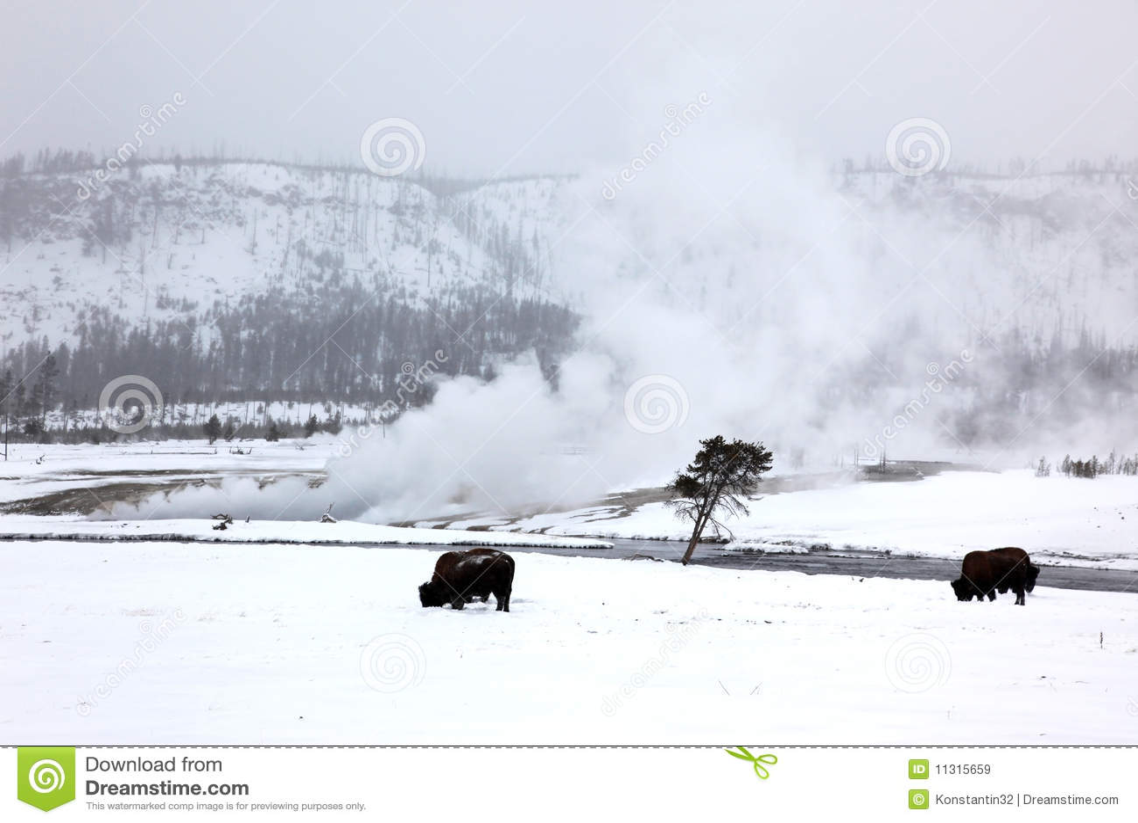 Leben Sie Büffel in Yellowstone NP in Herden