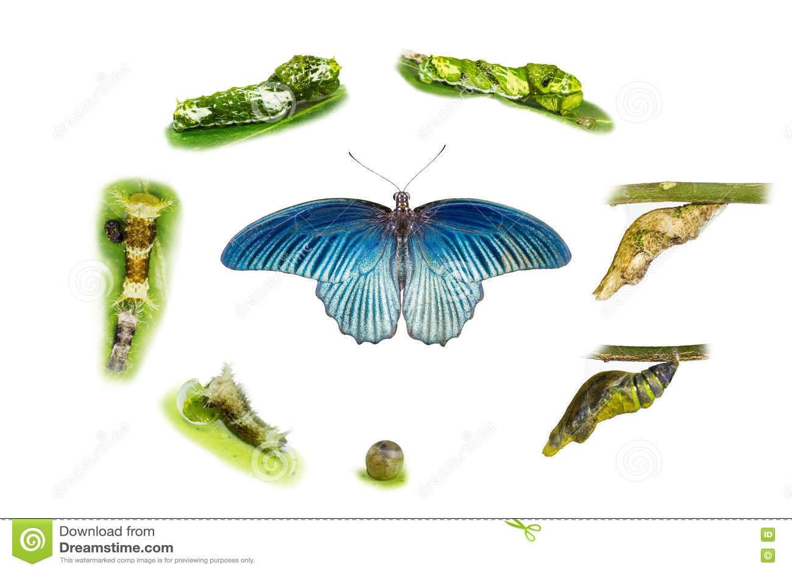 Lebenszyklus des männlichen großen mormonischen Schmetterlinges