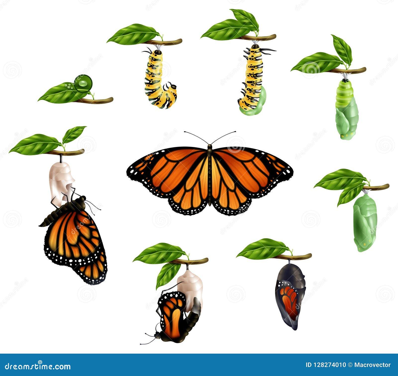 Lebenszyklus des Schmetterlings-realistischen Satzes