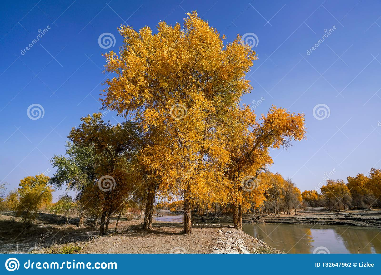 Lebhafter goldener Populus im Herbst durch Fluss Tarim