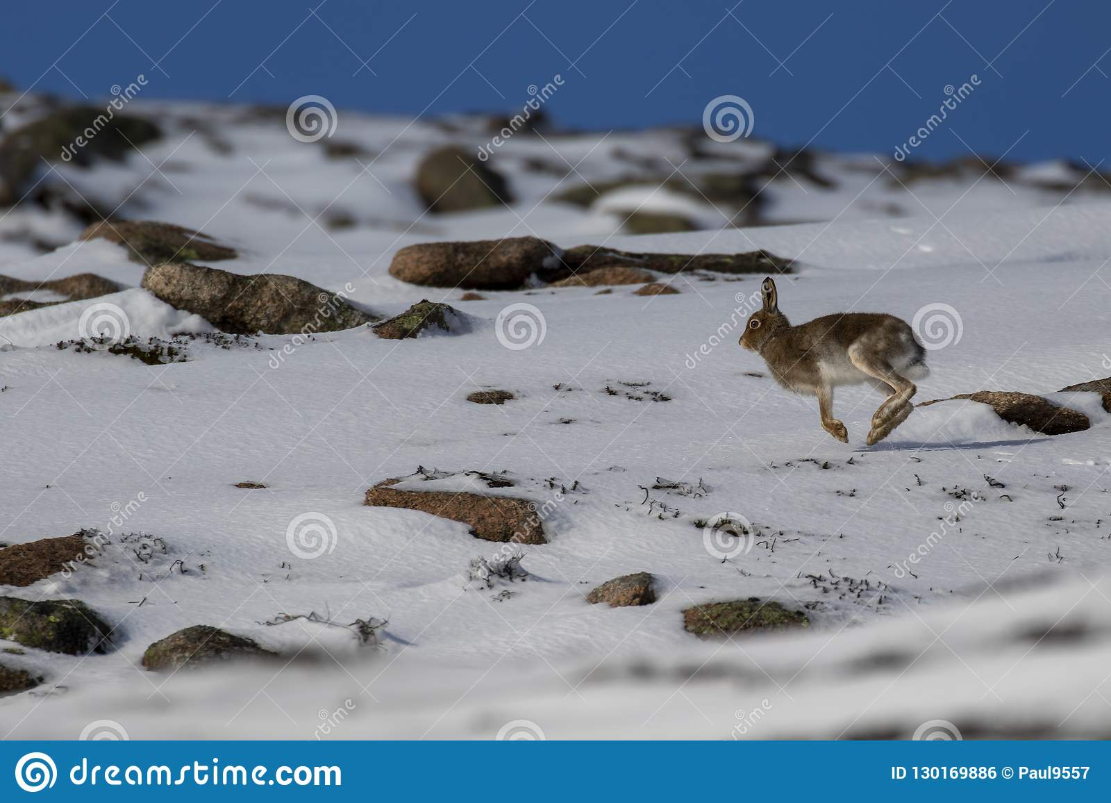 Lebre da montanha, timidus do Lepus, durante outubro ainda no revestimento do verão cercado pela neve nos quartzos defumados NP,